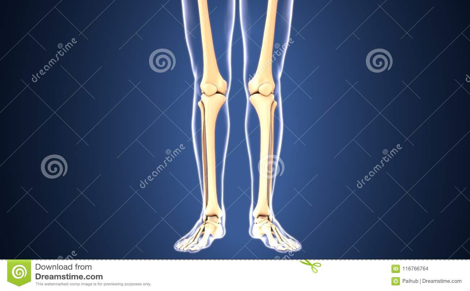 3d Illustration Of Skeleton Feet Bone Anatomy Stock Illustration ...
