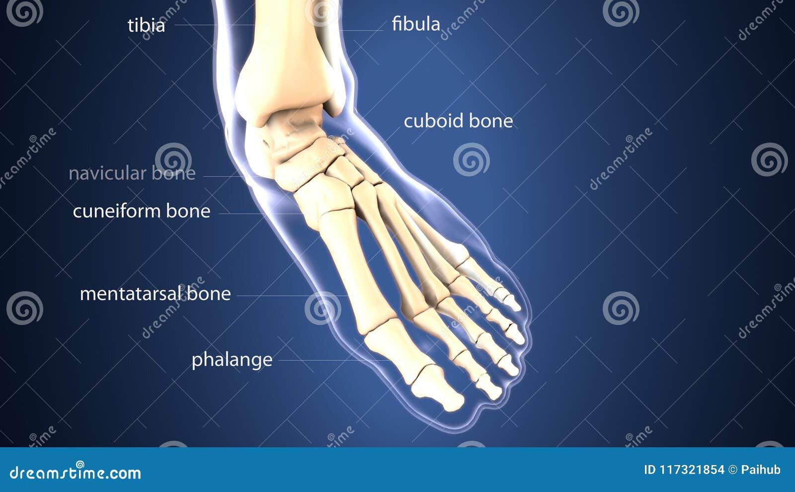 3d Illustration Of Skeleton Foot Bone Anatomy Stock Illustration