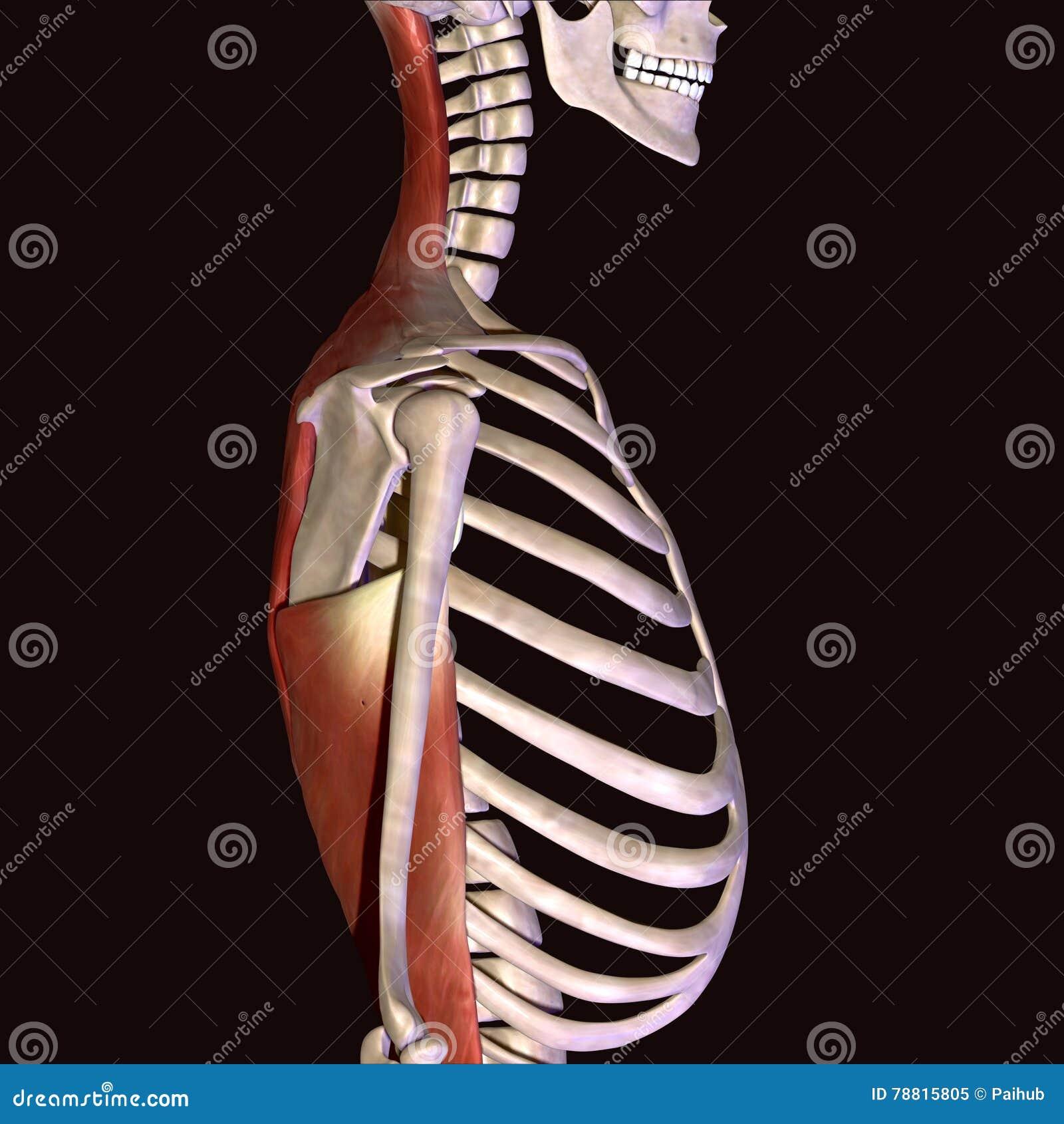 3d Illustration Of Skeleton Ribs Anatomy Stock Illustration ...