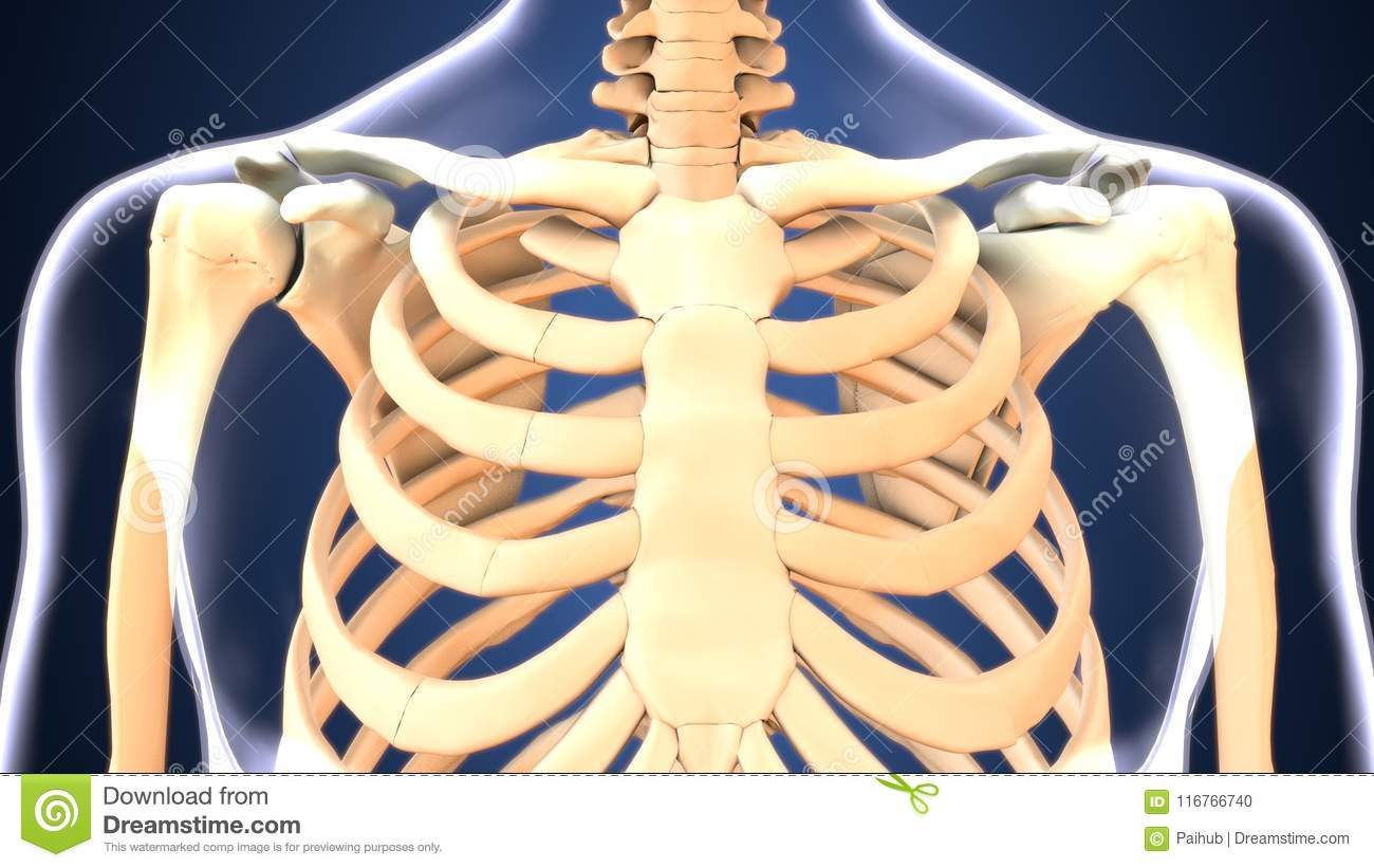 3d Illustration Of Skeleton Ribs Anatomy Stock Illustration ...