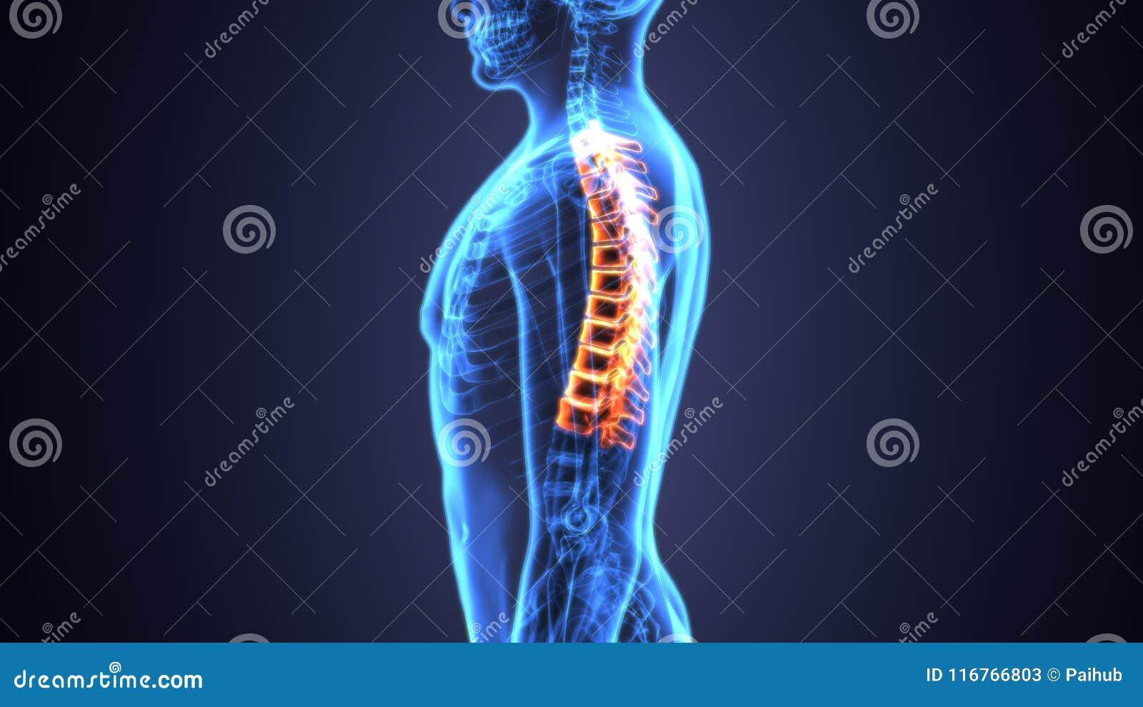 3d Illustration Of Skeleton Spinal Bone Anatomy Stock Illustration