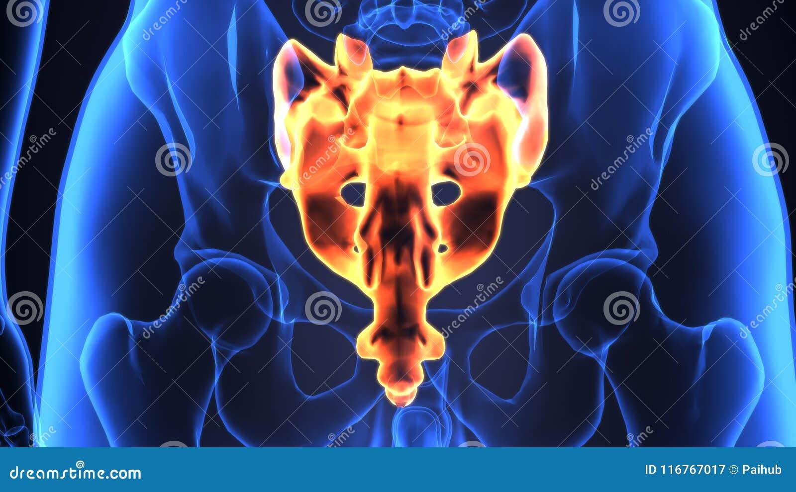 3d Illustration Of Skeleton Spinal Bone Anatomy Stock Illustration ...
