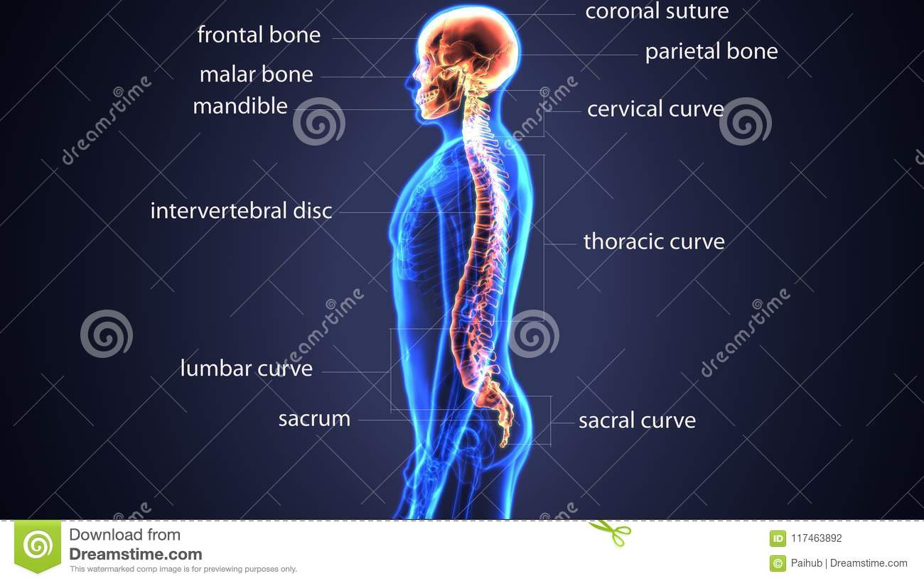 3d Illustration Of Skull With Spinal Cord Anatomy Stock Illustration ...