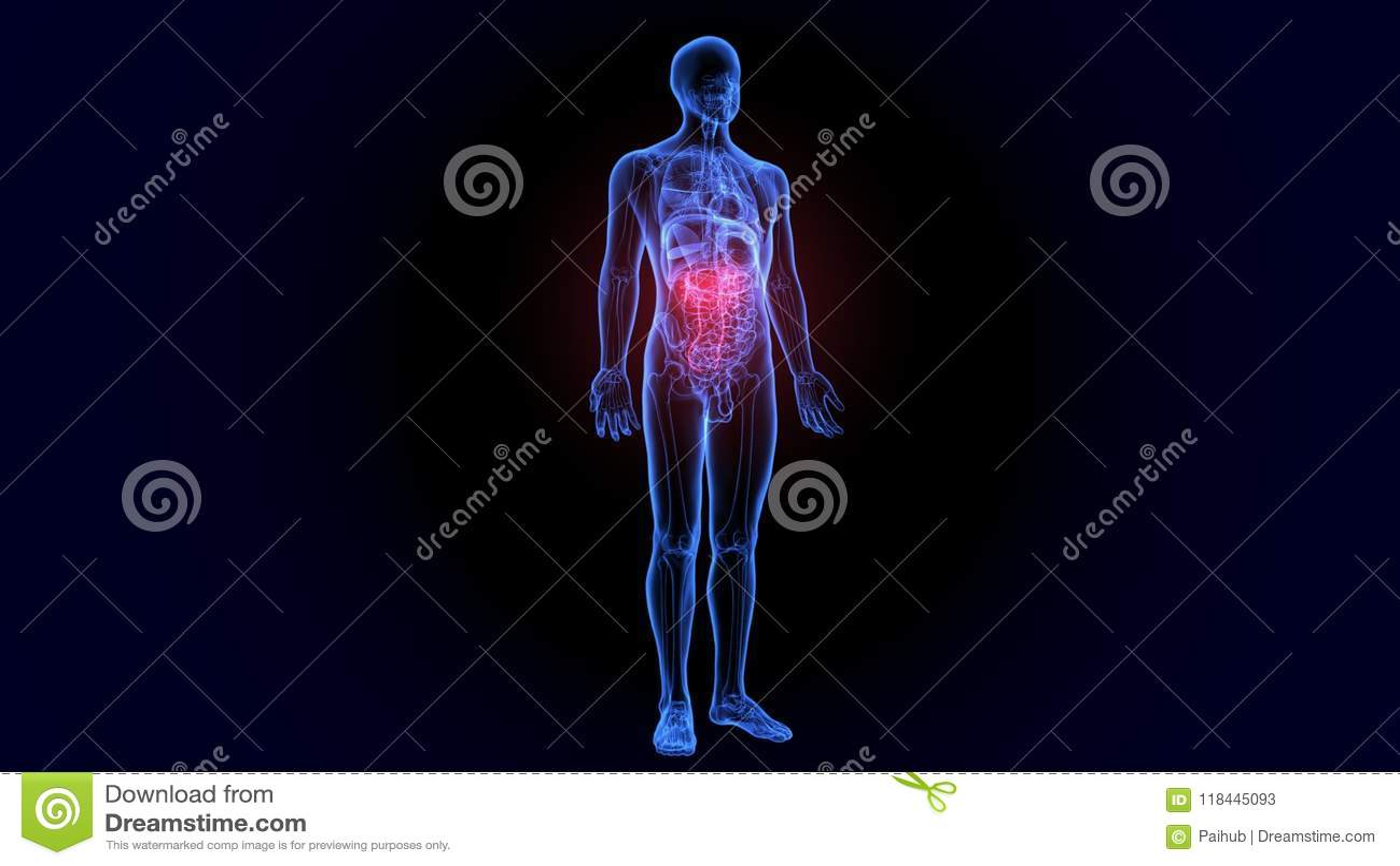 3d Illustration Of Urinary System Anatomy Stock Illustration