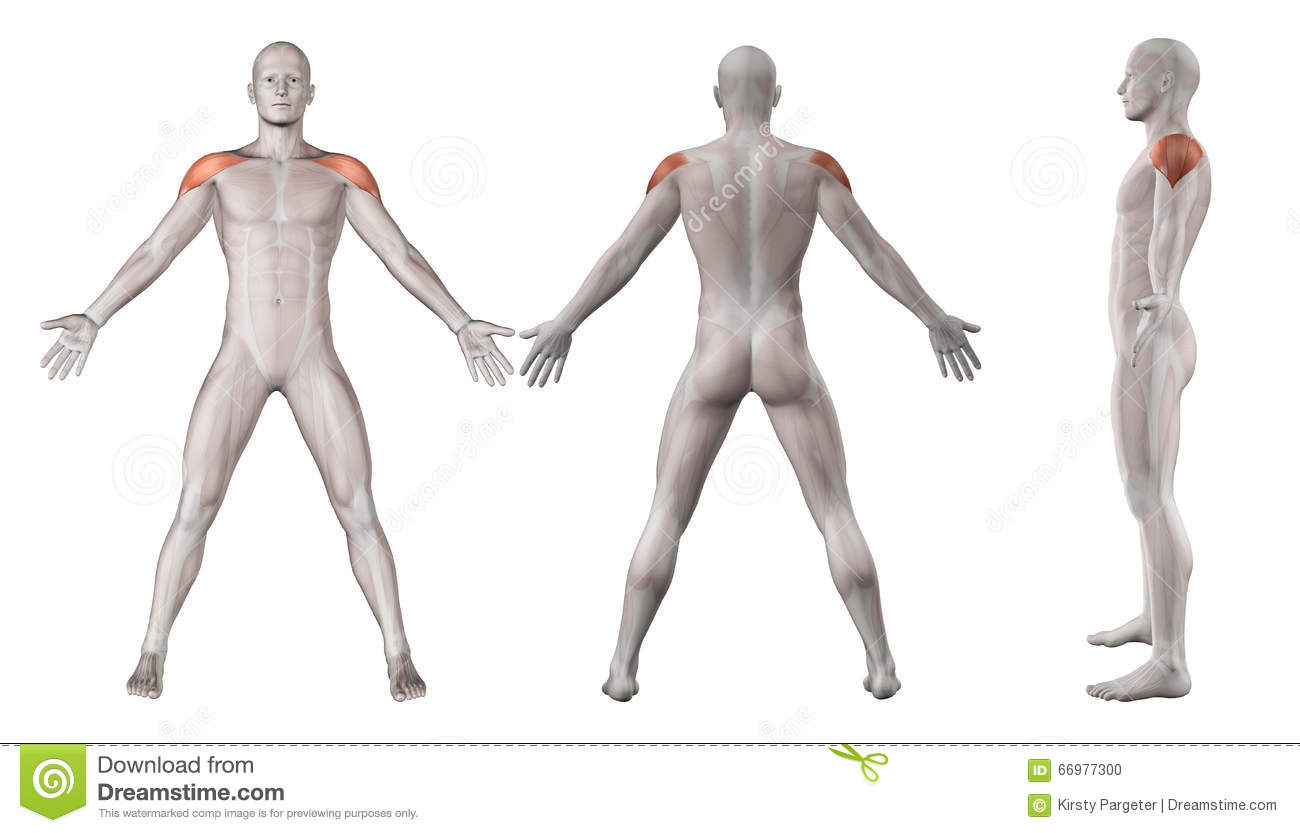 3d Images Showing Male Figure With Deltoid Muscles Highlighted Stock