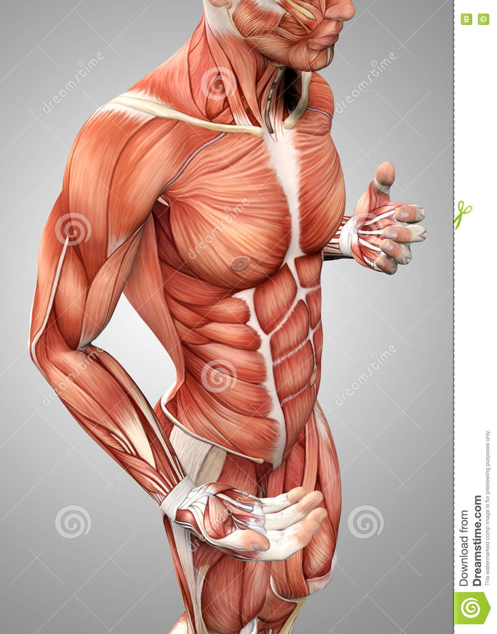 3d Male Anatomy Showing Torso Stock Illustration - Illustration of ...