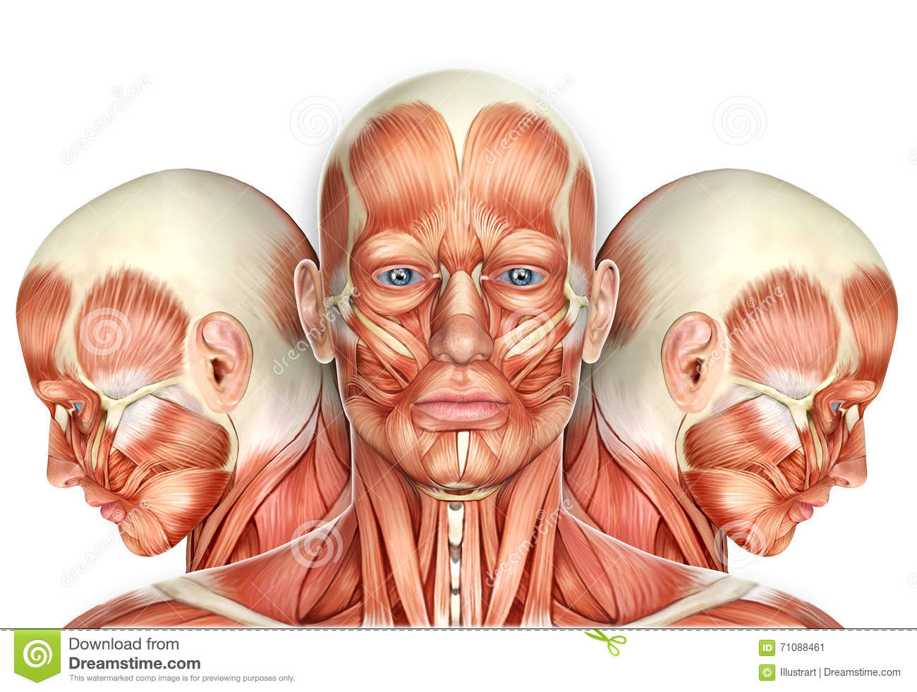 3d Male Face Muscles Anatomy With Side Views Stock Illustration ...