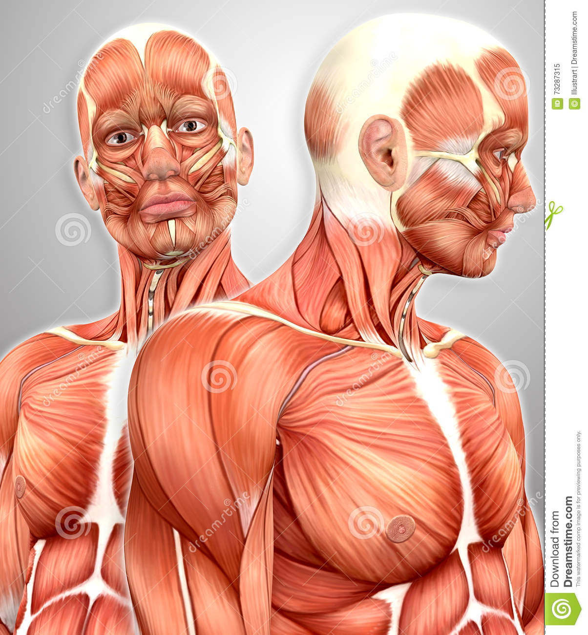 3d Male Muscular Anatomy With Side View Stock Illustration ...