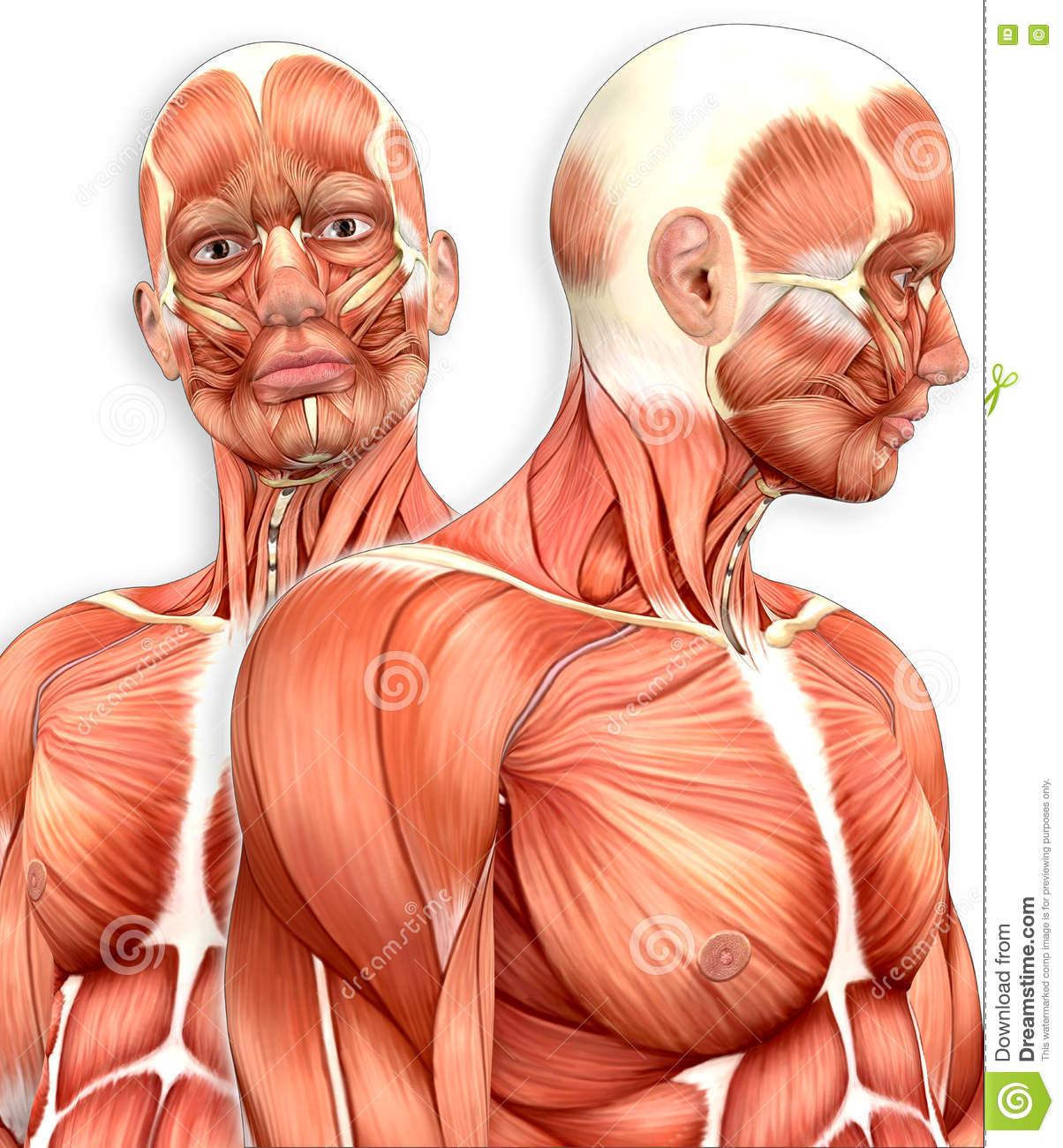 3d Male Muscular Anatomy With Side View Stock Illustration