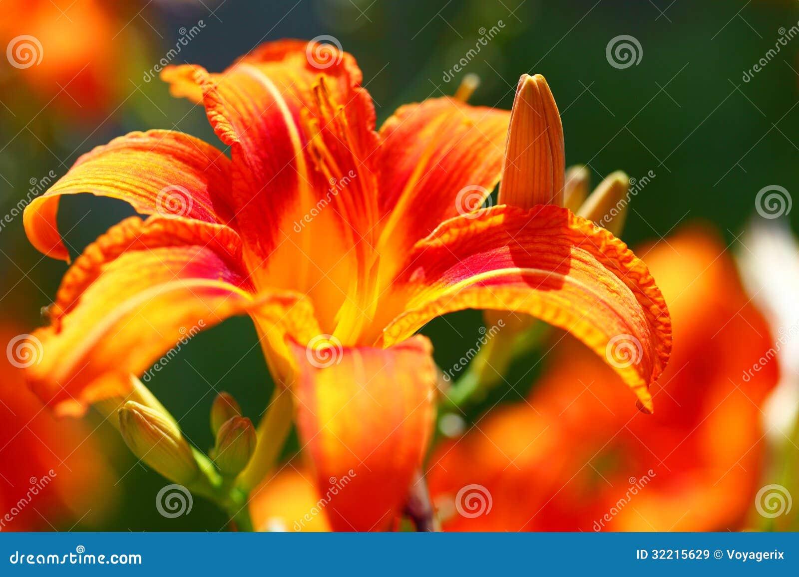 D orange lis de fleur lilly extérieurs