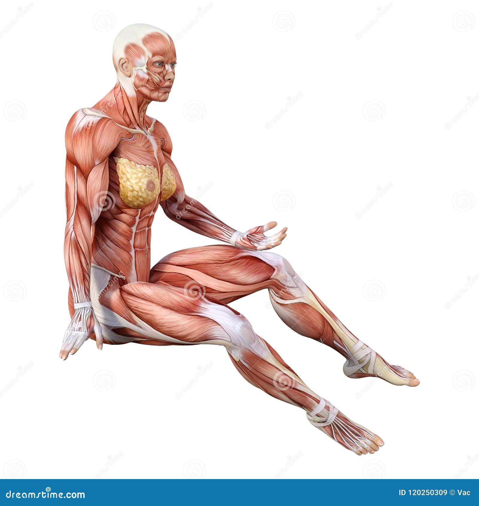 3D Que Rinde La Figura Femenina De La Anatomía En Blanco Stock de ...