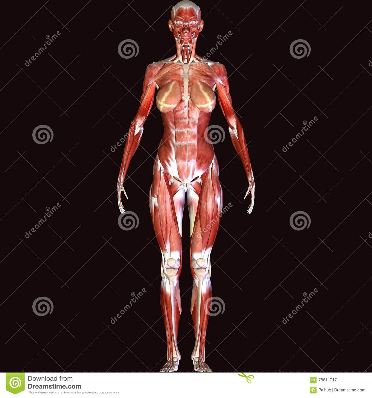 3d Render Depicting The Muscle Structure Of The Human Body Male