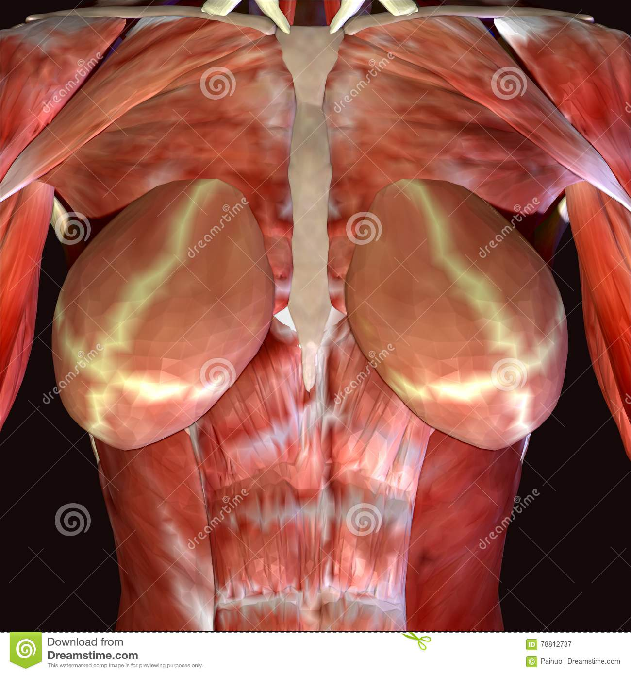 3d Render Depicting The Muscle Structure Of The Human Body Stock