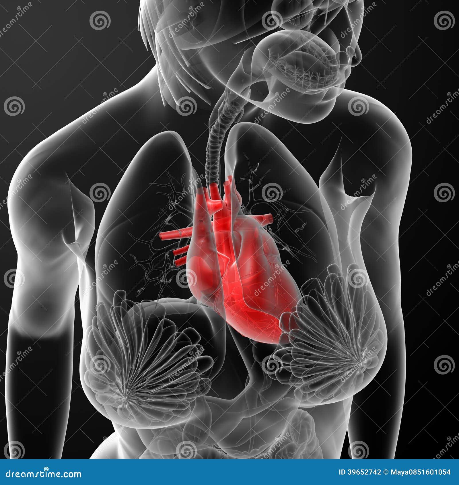 3d Render Female Anatomy - Heart Stock Illustration - Illustration ...