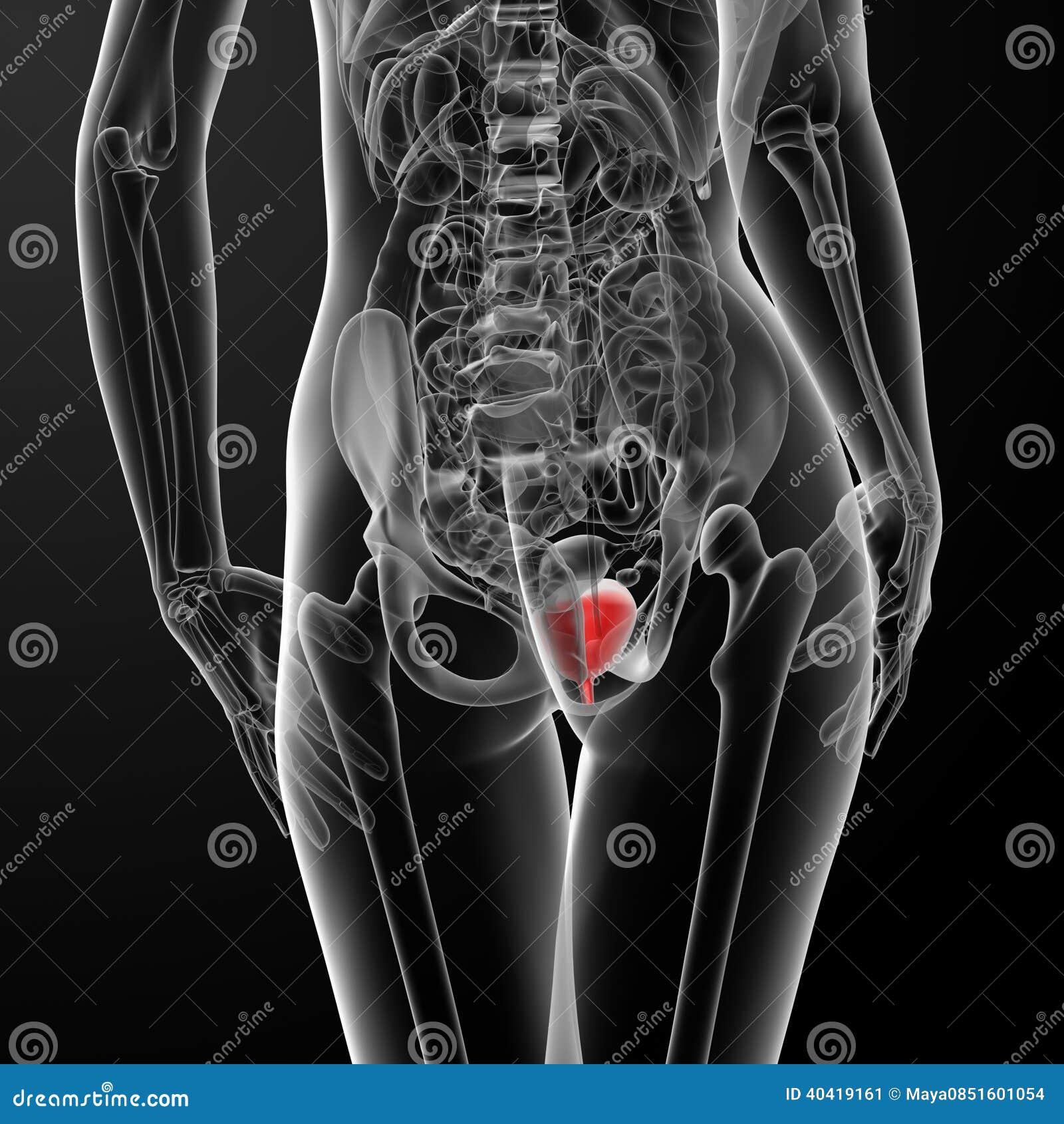 3d Render Female Bladder Anatomy X Ray Stock Illustration