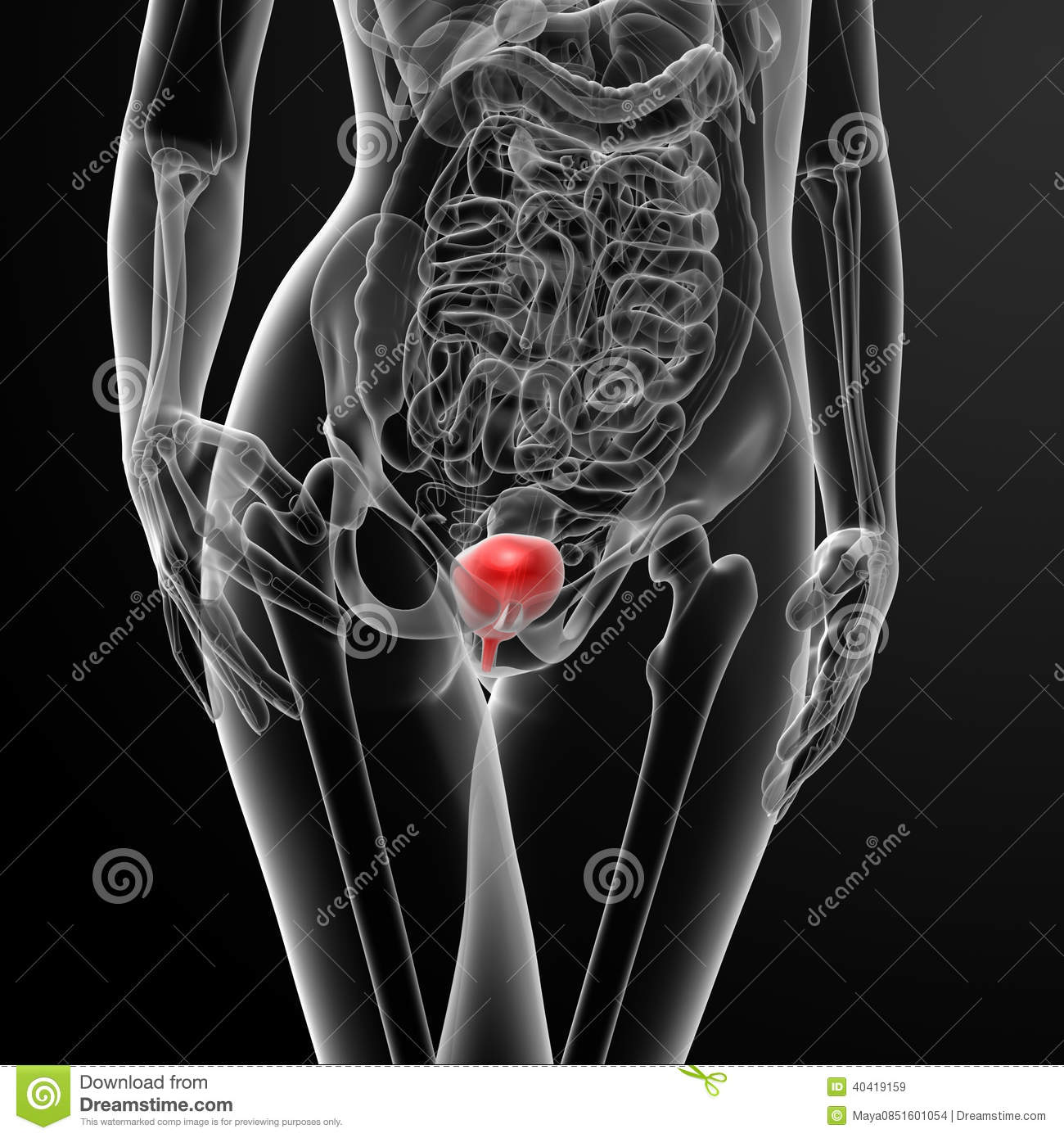 3d Render Female Bladder Anatomy X-ray Stock Illustration ...