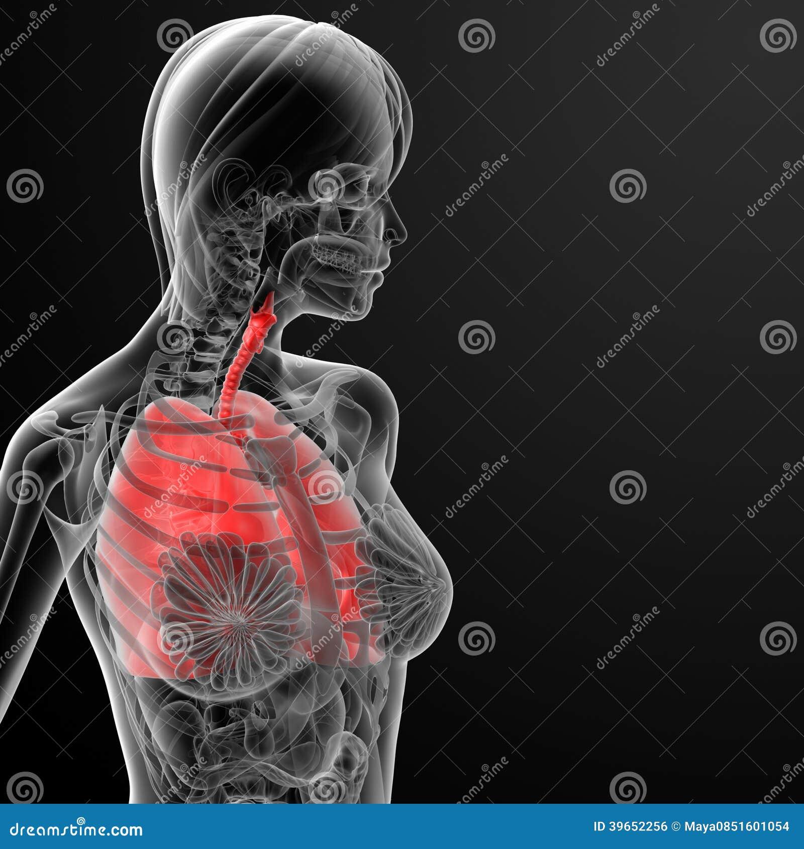 3d Render Female Respiratory Anatomy Stock Illustration