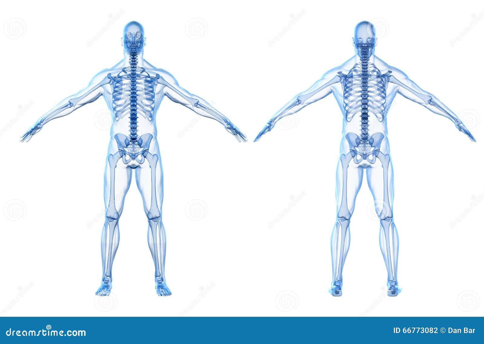 3d Render Of Human Body And Skeleton Stock Illustration
