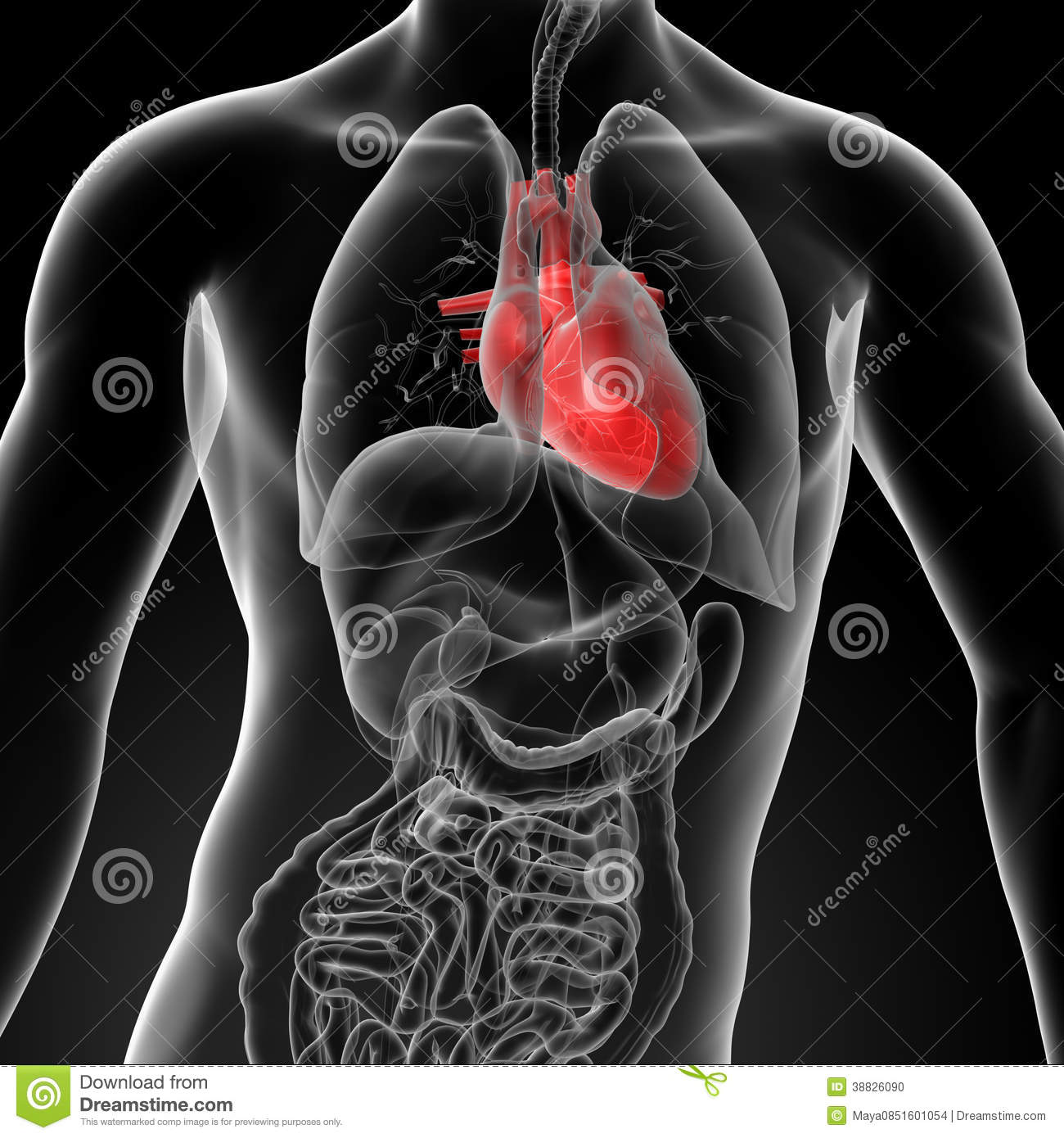 3d Render Human Heart Anatomy Stock Illustration - Illustration of ...