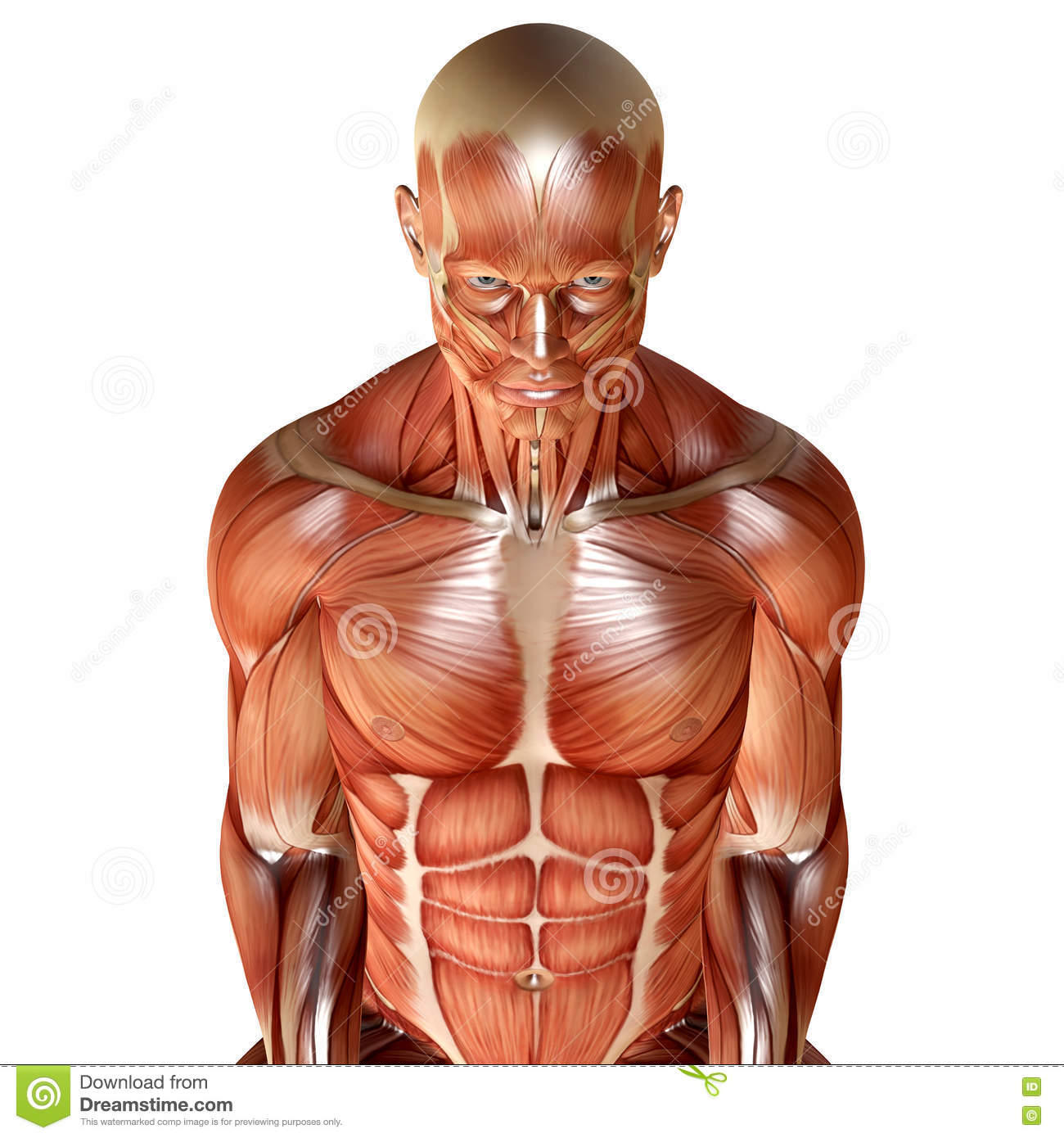 3d Render Of A Male Muscular Anatomy Stock Illustration