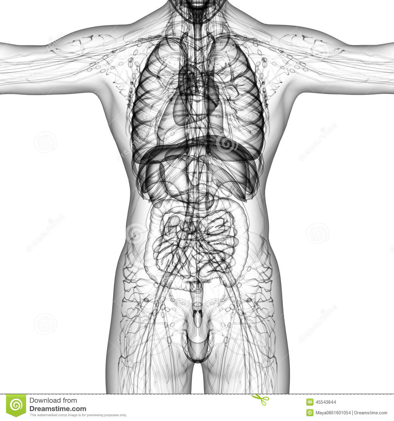 3d Render Medical Illustration Of The Human Anatomy Stock