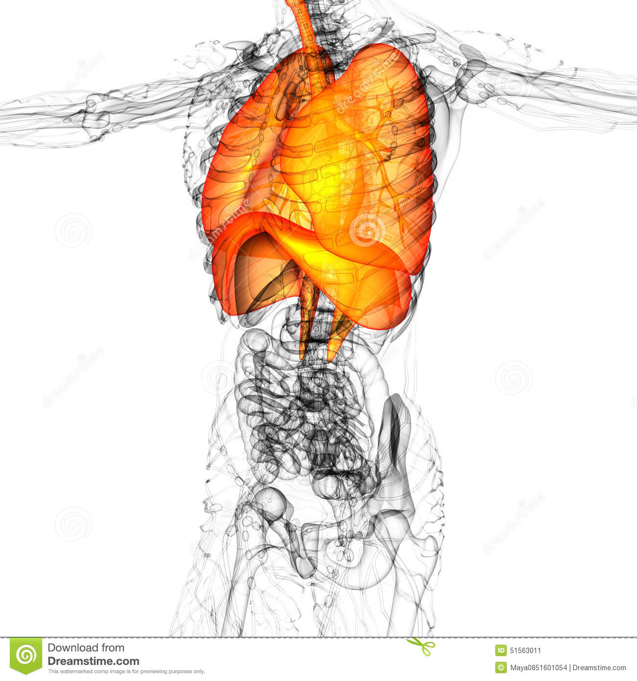 3d Render Medical Illustration Of The Human Respiratory System Stock