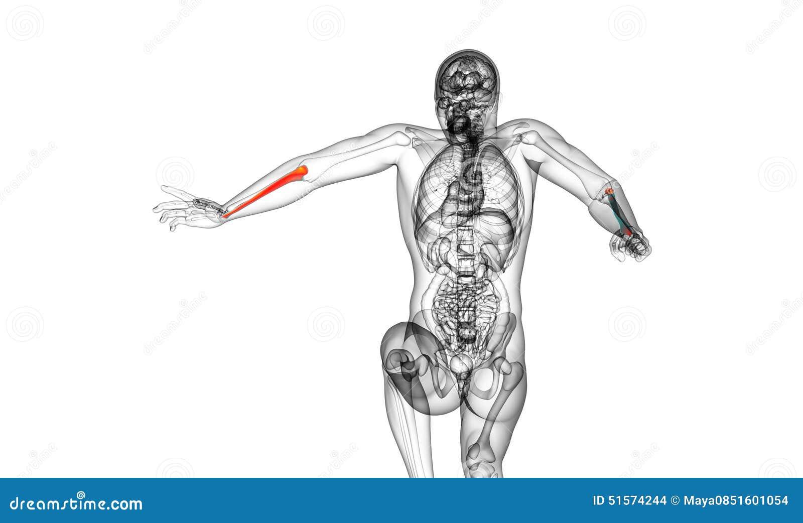 3d Render Medical Illustration Of The Ulna Bone Stock Illustration