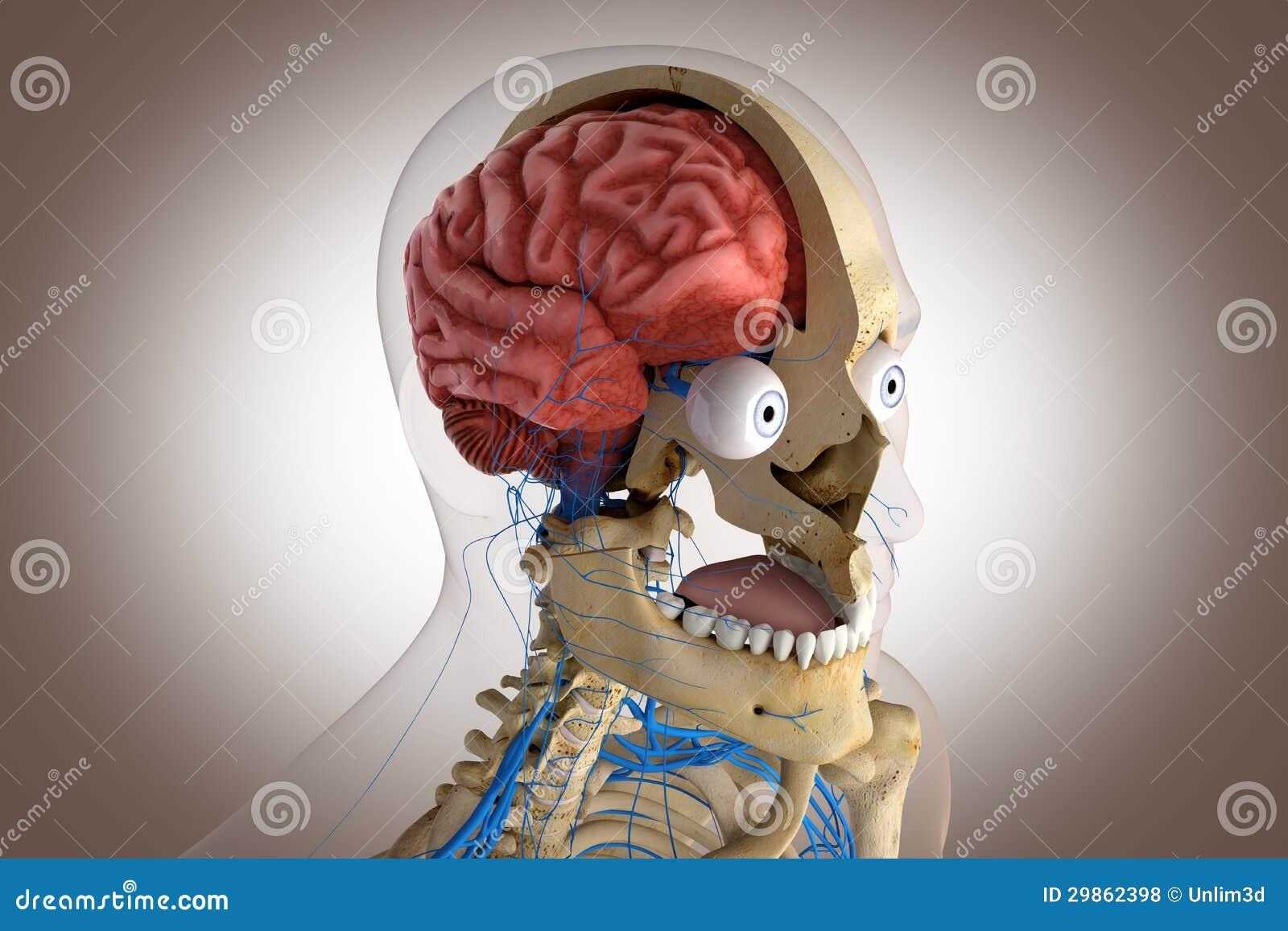 Human Anatomy Structure Of Head Brain Eyes Etc Stock Illustration