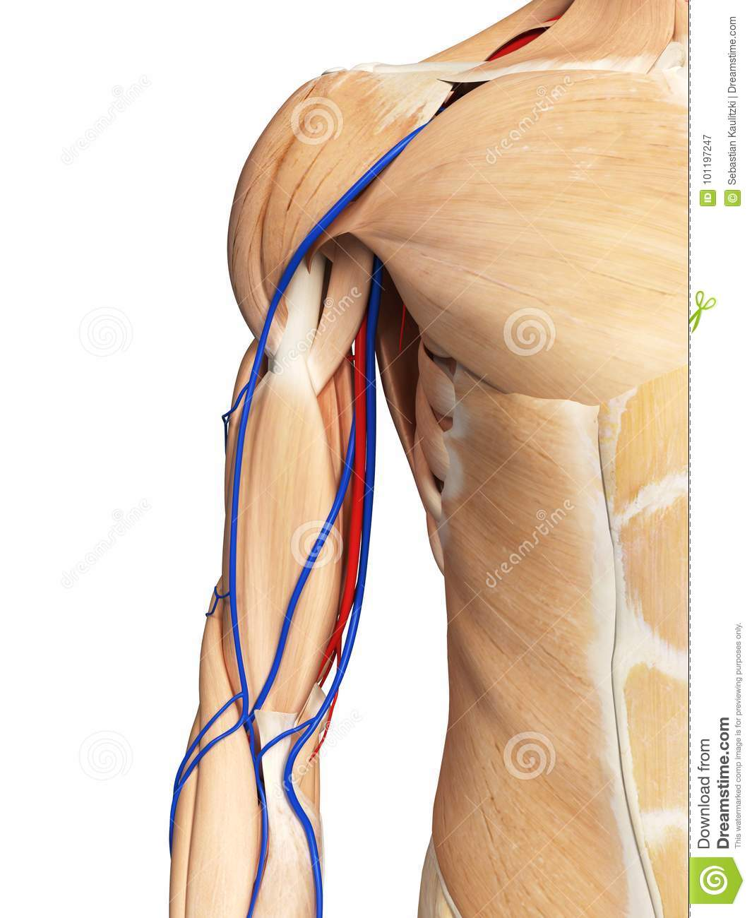 The Arm Anatomy Stock Illustration Illustration Of Vascular 101197247