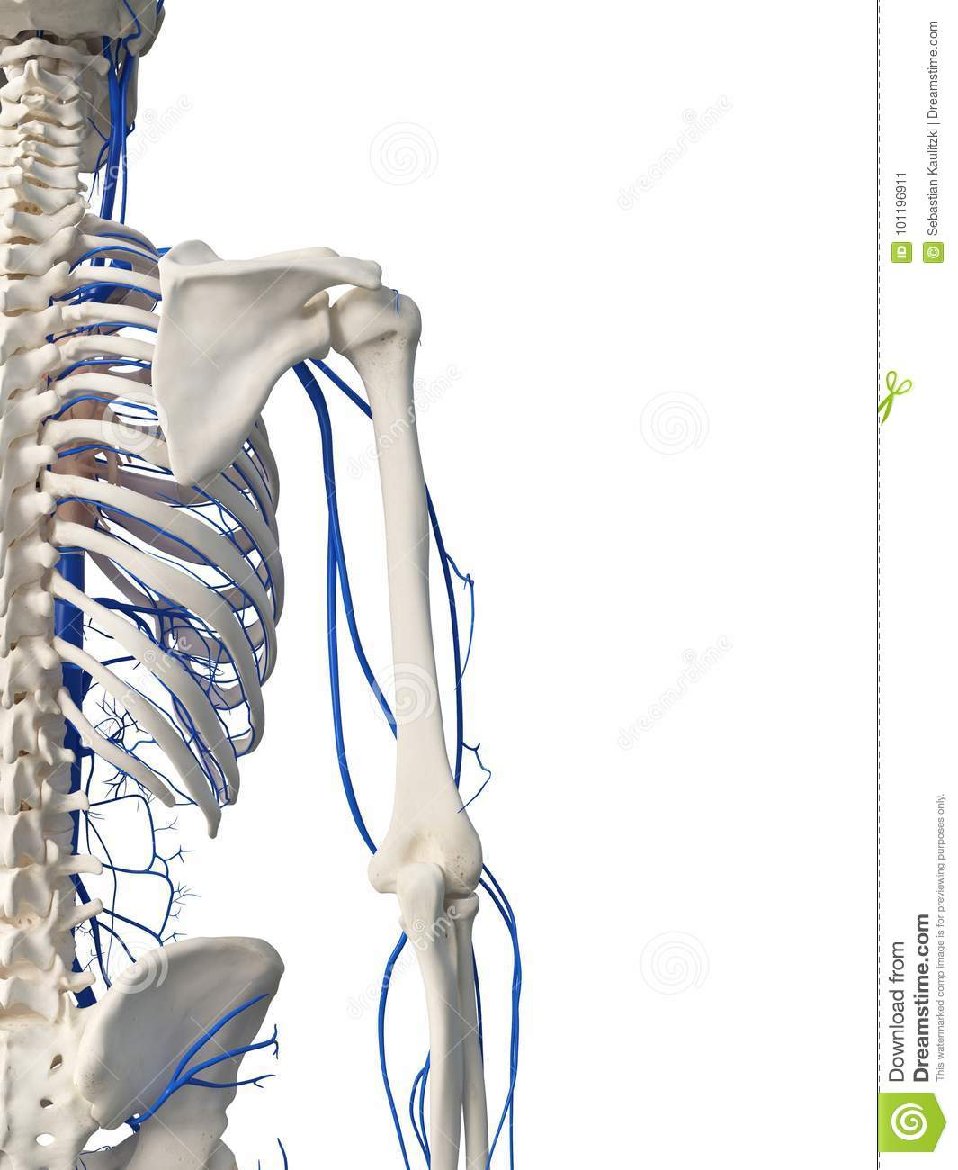 Arm And Shoulder Veins Stock Illustration Illustration Of Medical