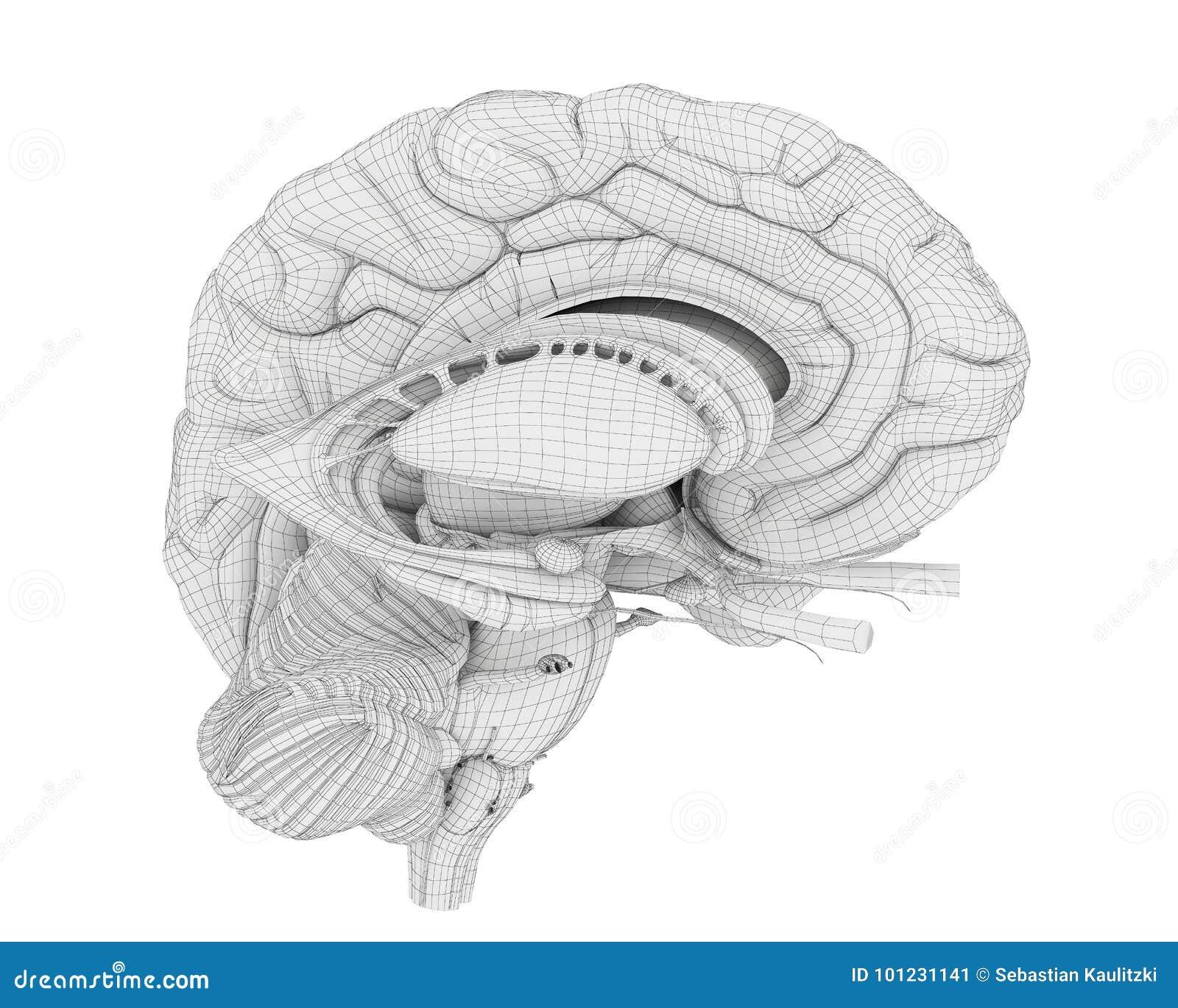 The brain anatomy stock illustration. Illustration of human - 101231141
