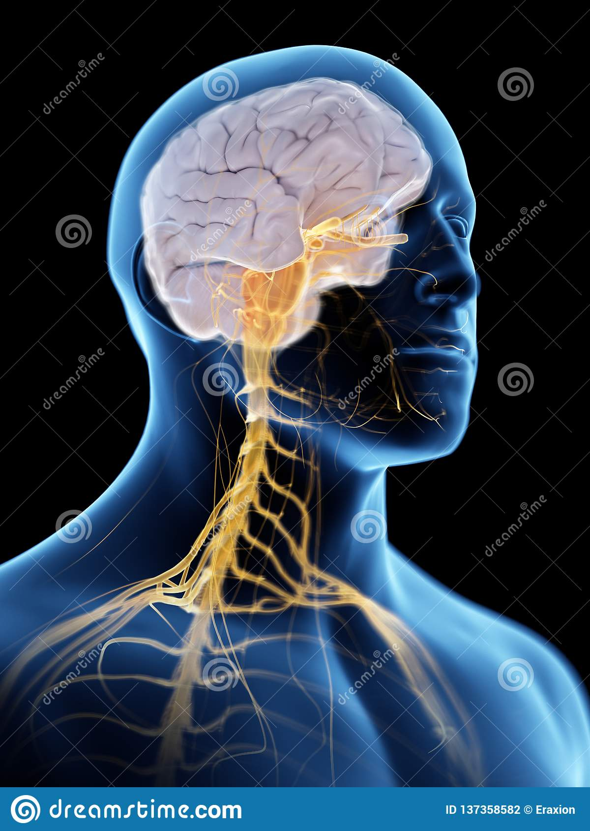 The brain and nervous system
