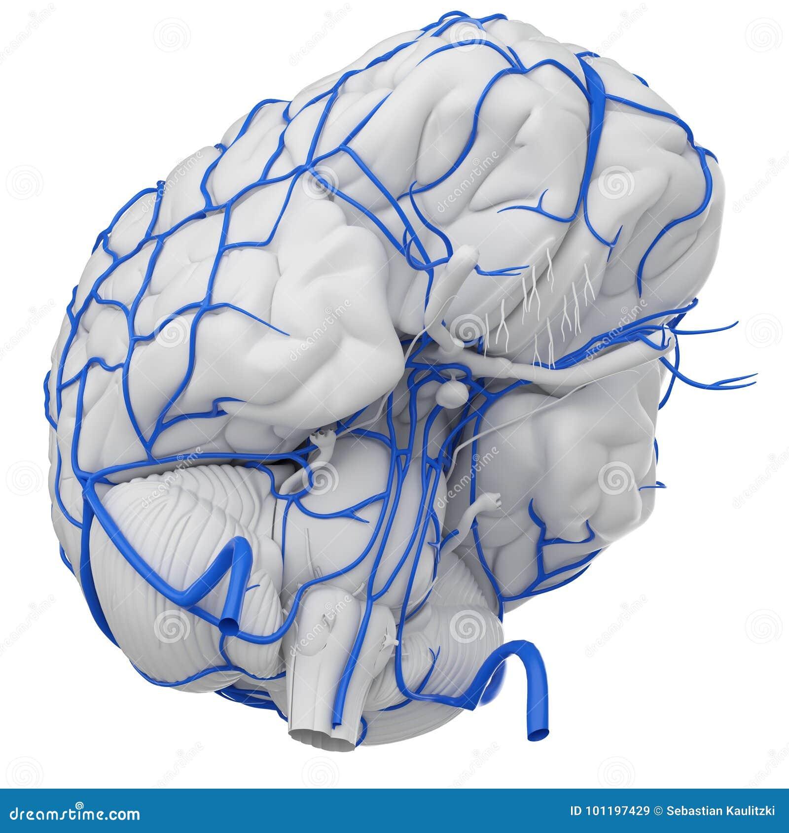 The brain veins stock illustration. Illustration of vascular - 101197429