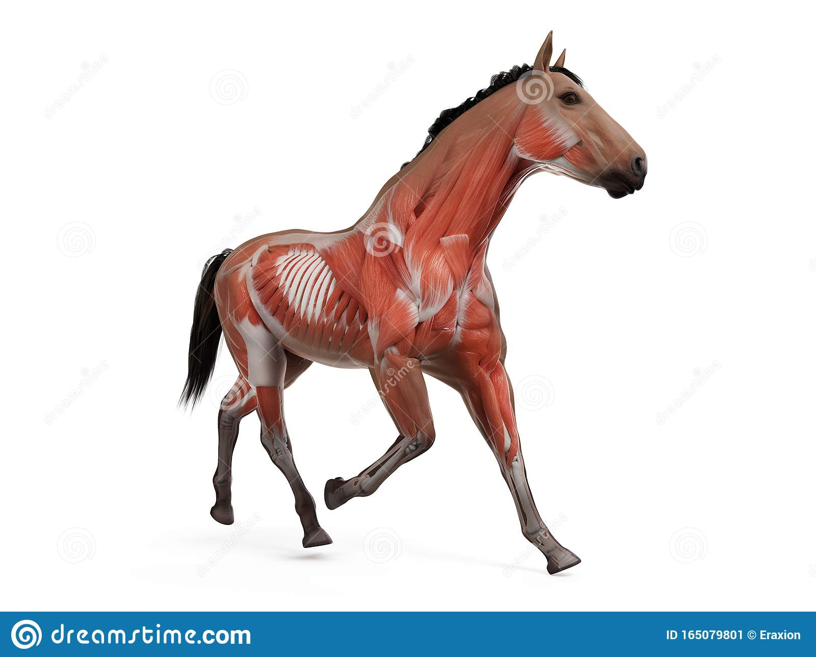 The Equine Anatomy The Muscle System Stock Illustration Illustration Of Zoology Nature 165079801