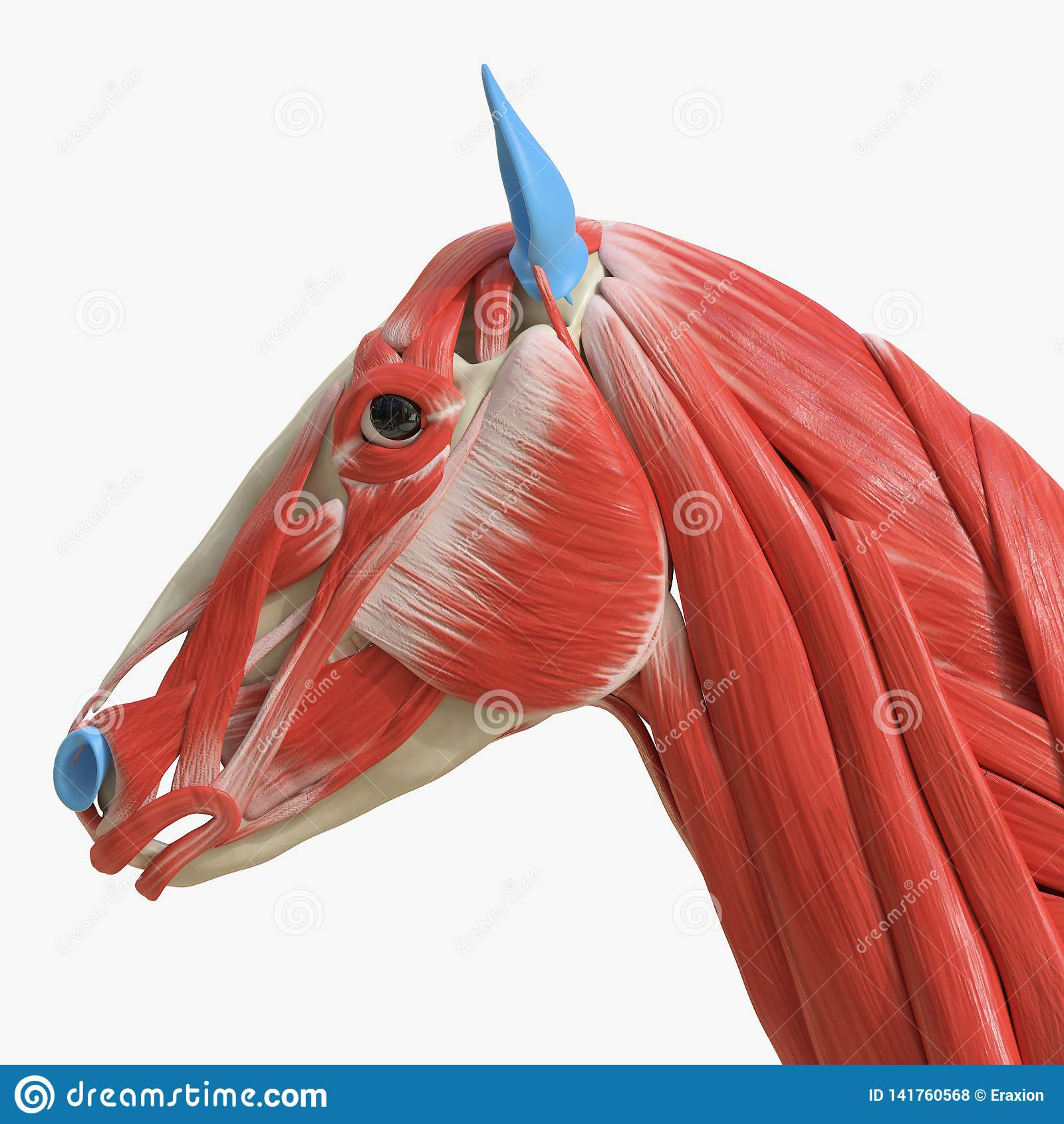 Horse Anatomy Muscles Stock Illustrations 56 Horse Anatomy Muscles Stock Illustrations Vectors Clipart Dreamstime