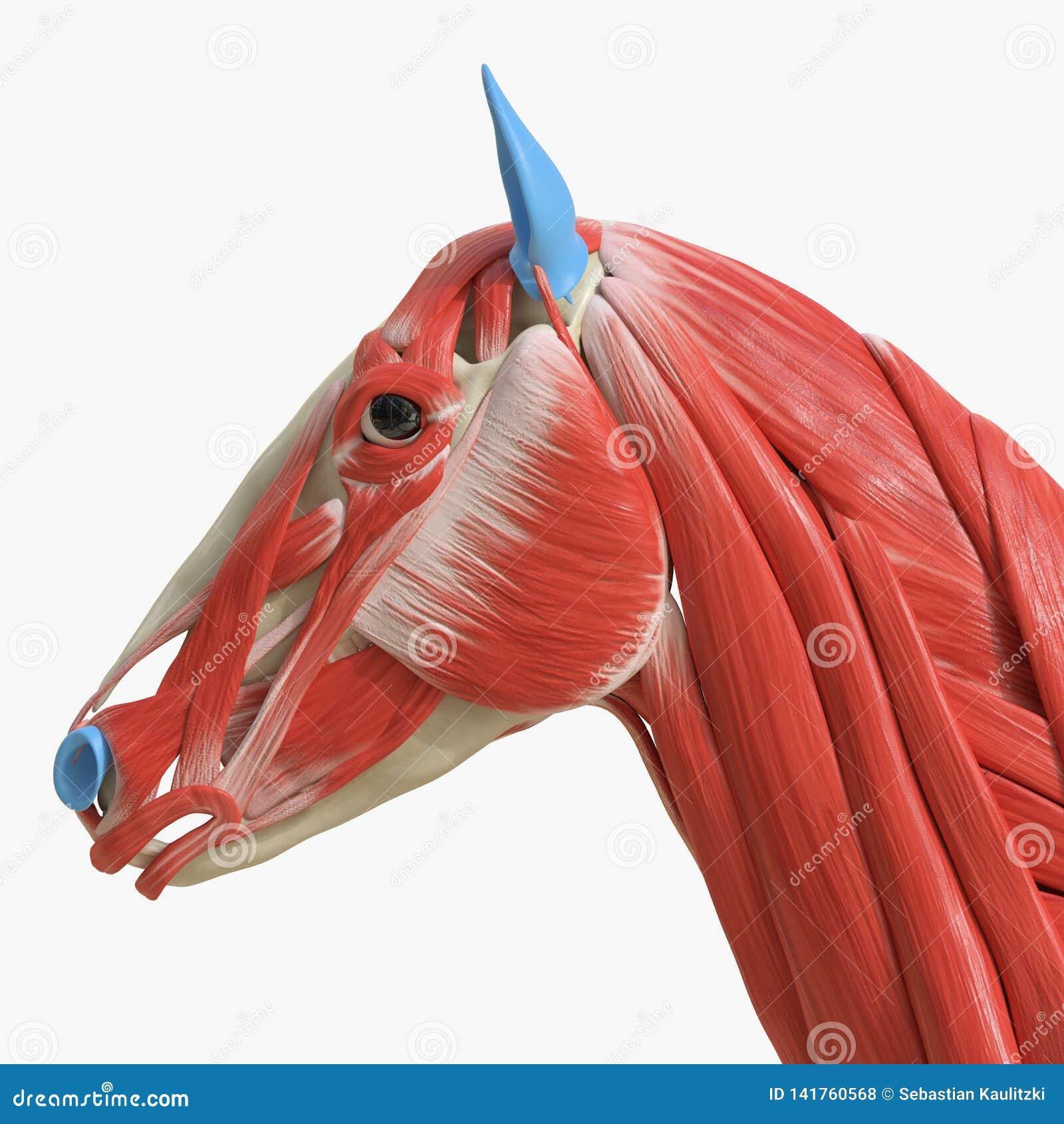 Head Muscles Stock Illustration Illustration Of Equine 141760568