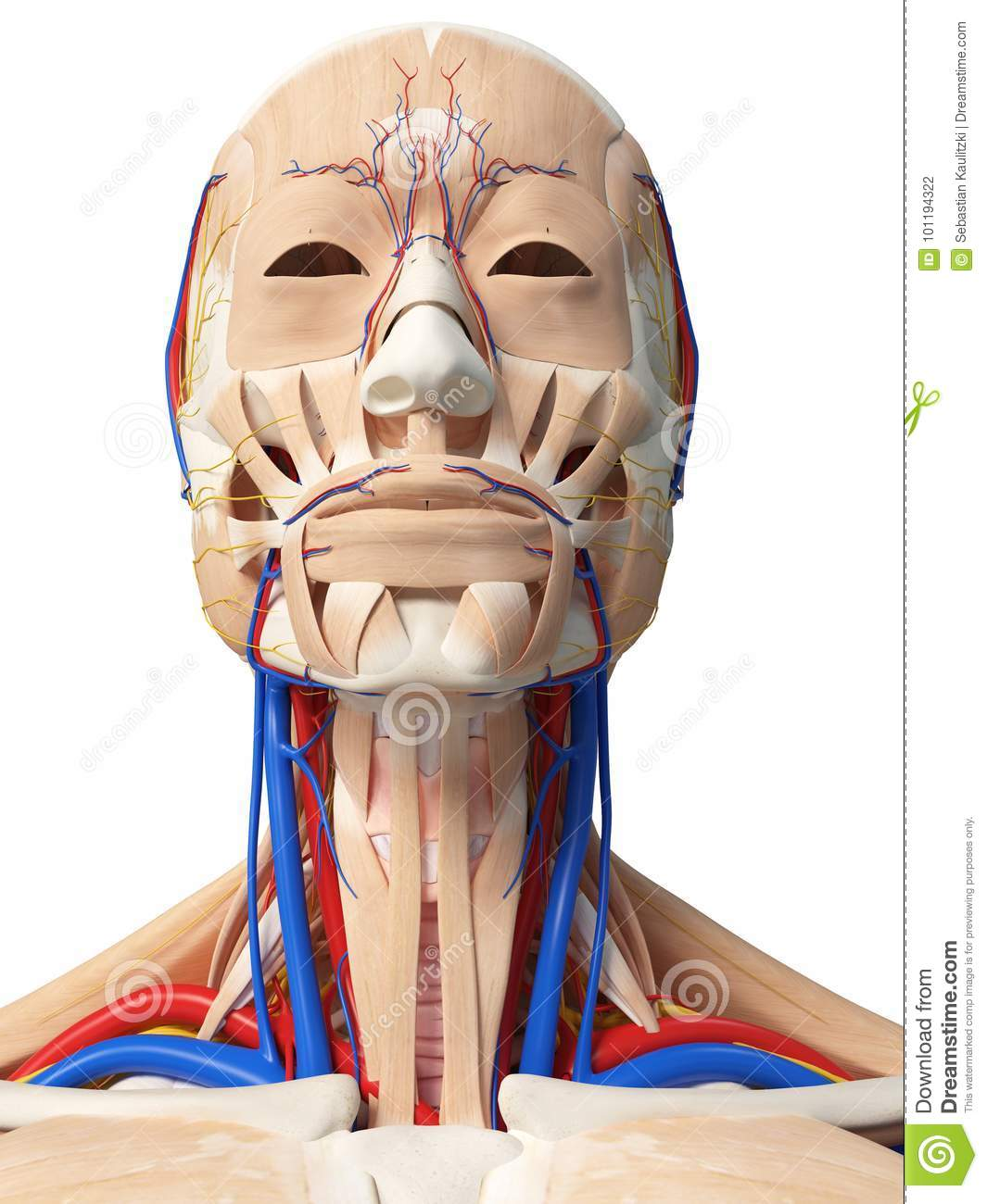 3d head and neck anatomy for dentistry [cracked] | dentistry | neck.