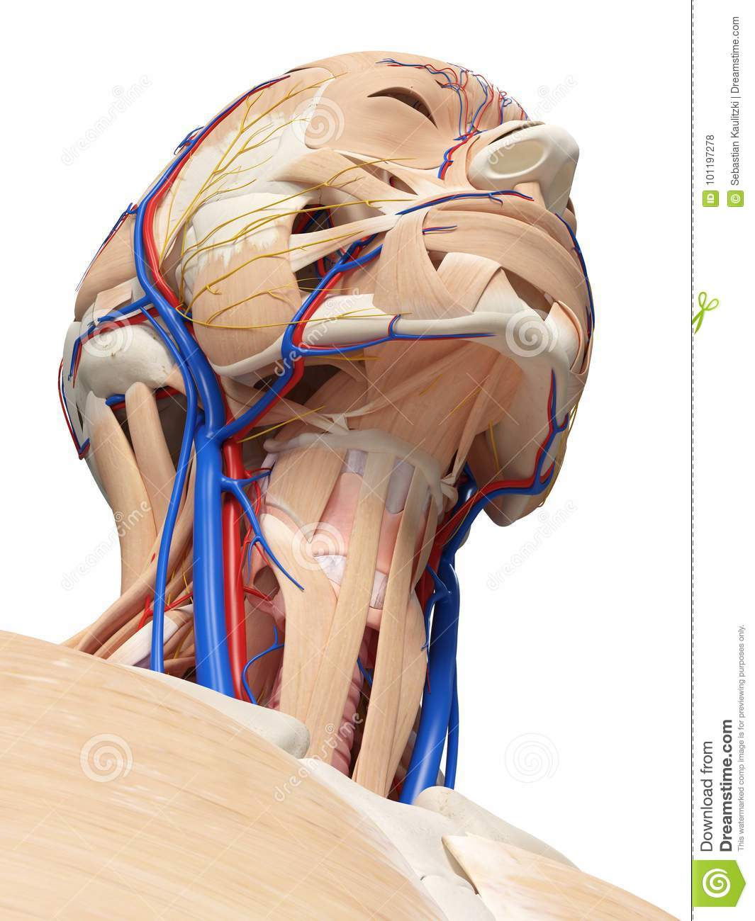 The gross human anatomy 3d atlas of the head and neck, showing the.