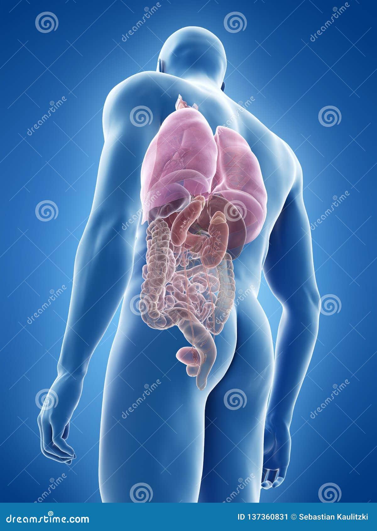 the human organs