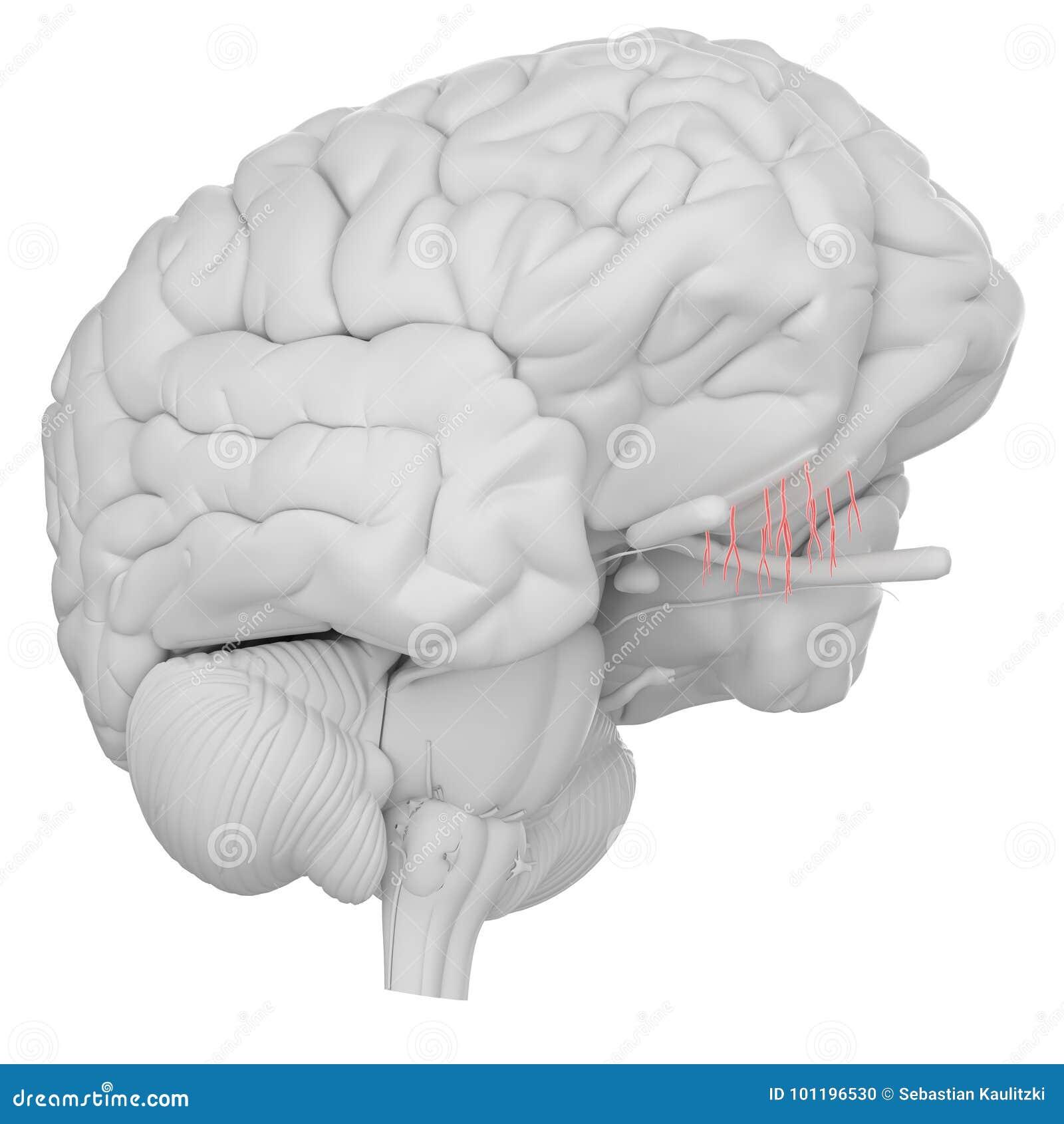 The Olfactory Nerve Stock Illustration  Illustration Of