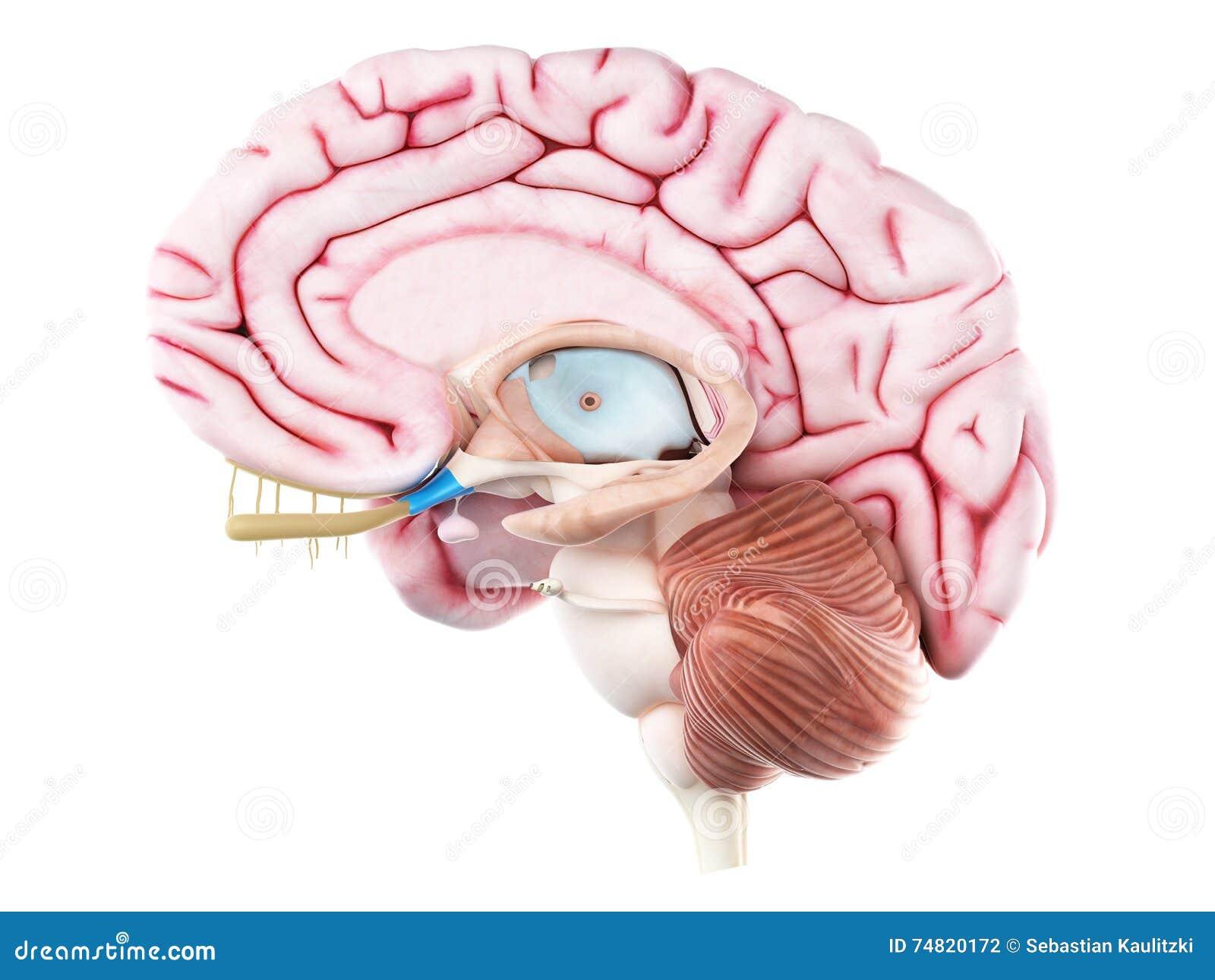 The optic chiasm stock illustration. Illustration of anatomy - 74820172