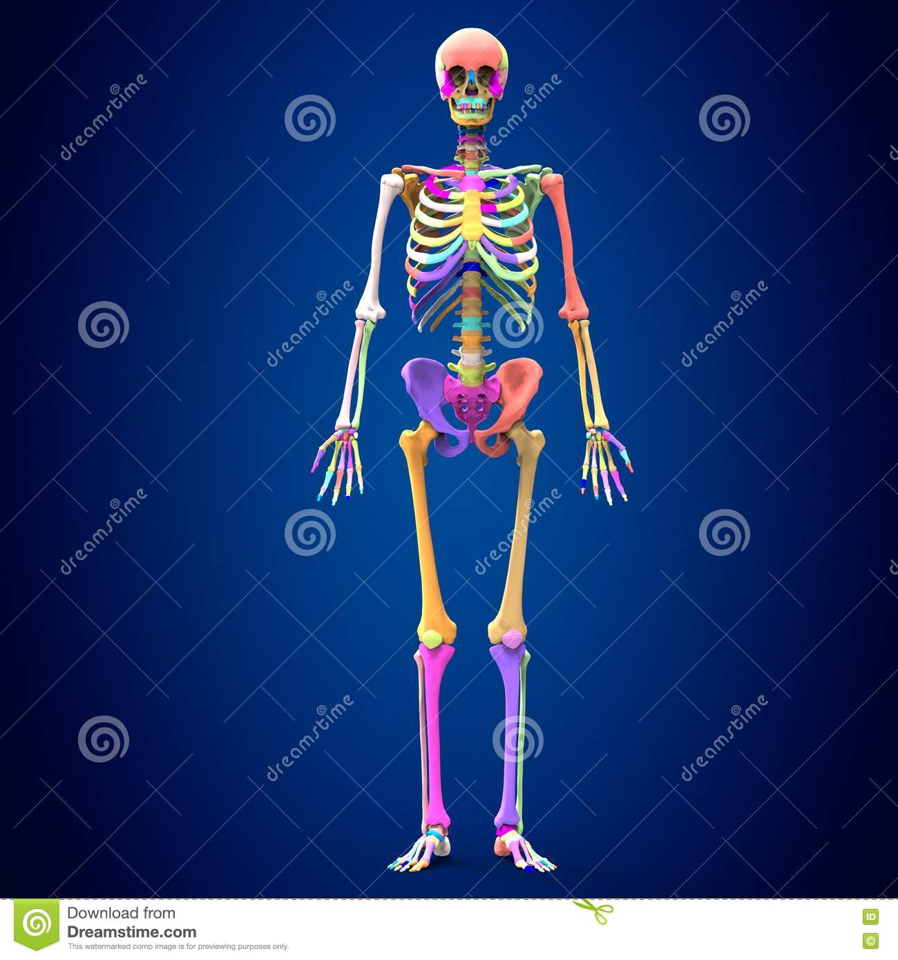 3d Rendered Medically Accurate Illustration Of Skeleton Anatomy ...