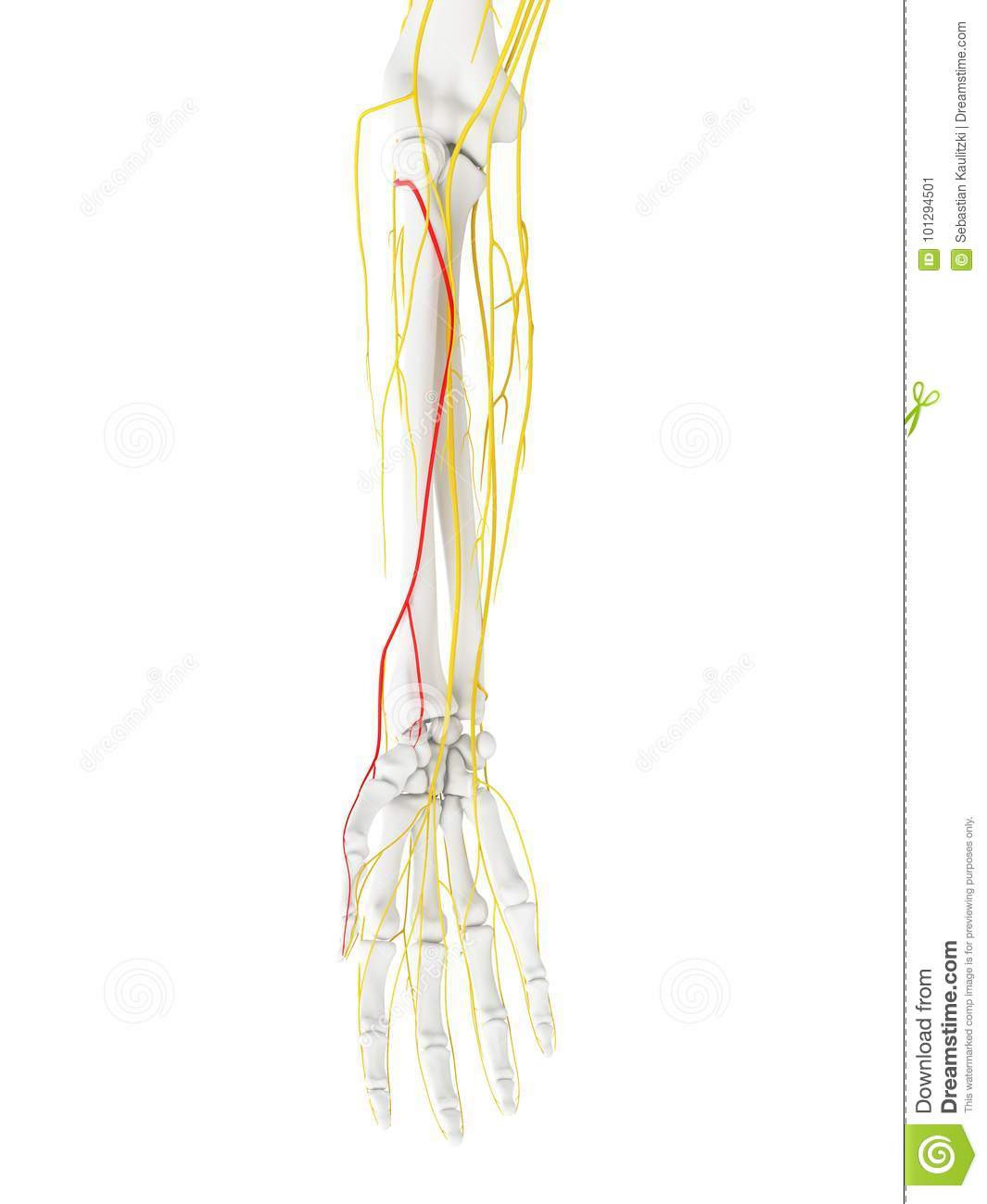 The Superficial Branch Radial Nerve Stock Illustration ...