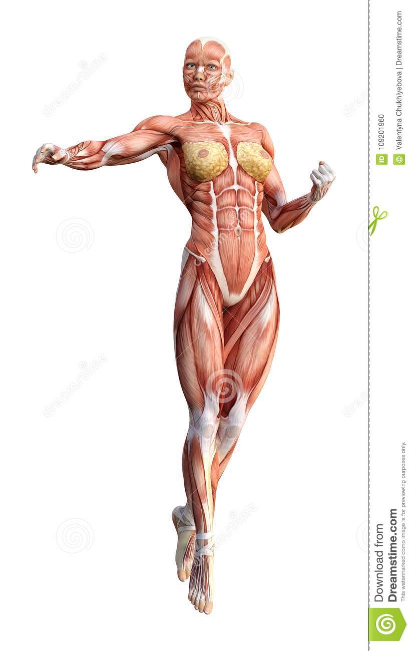 3D Rendering Female Anatomy Figure On White Stock Illustration ...