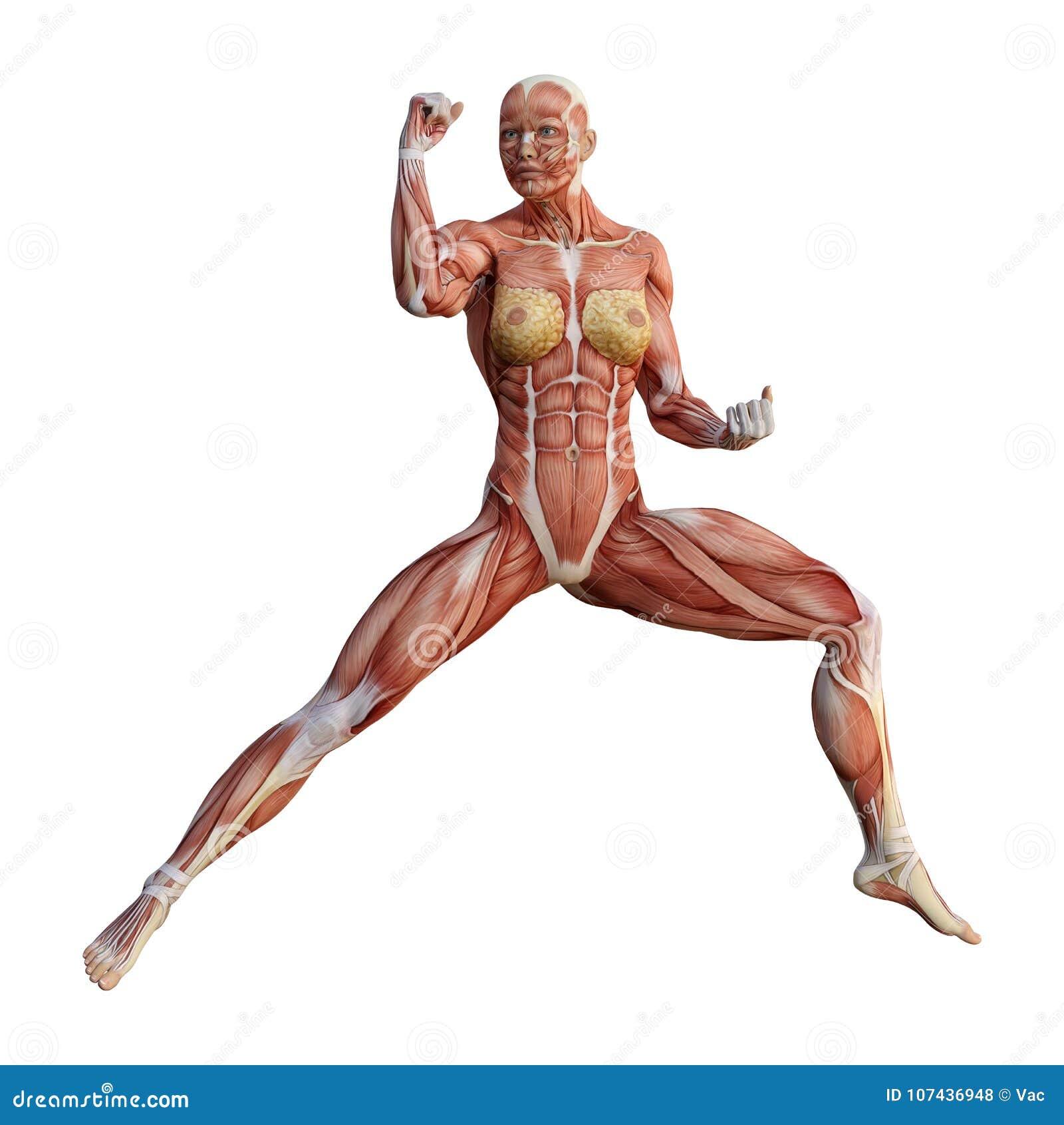 3d Rendering Female Anatomy Figure On White Stock Illustration