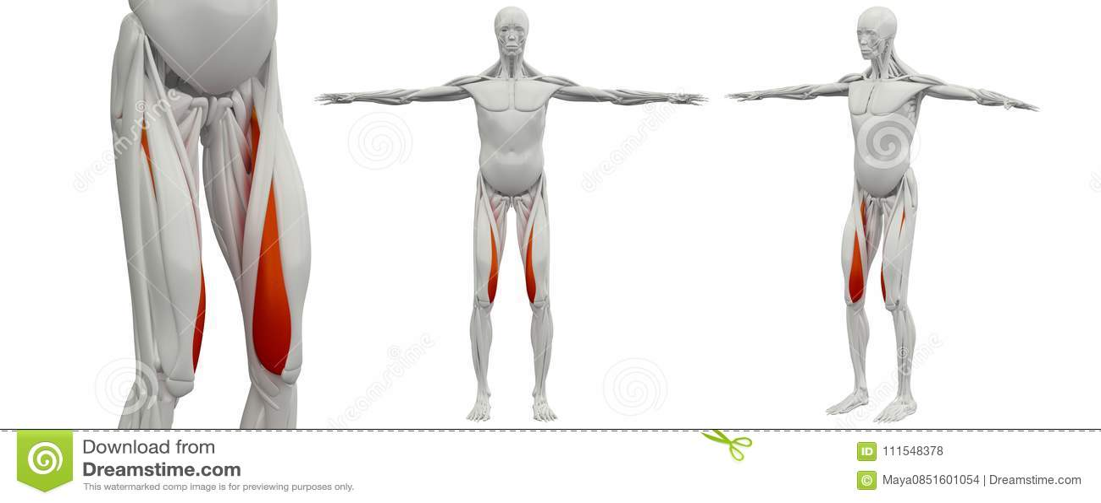 3d Rendering Illustration Of The Vastus Medialis Stock Illustration ...