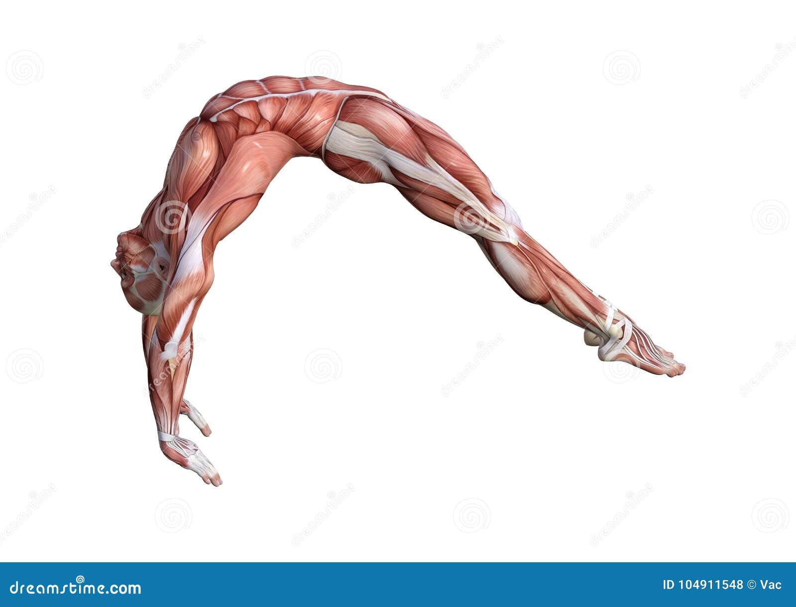 3D Rendering Male Anatomy Figure On White Stock Illustration ... on yoga energy, yoga international, yoga back, yoga stretches, yoga adrenal glands, yoga leg workout, yoga history, yoga skin, yoga peace, yoga anatomy, yoga strength, yoga mind, yoga bones,