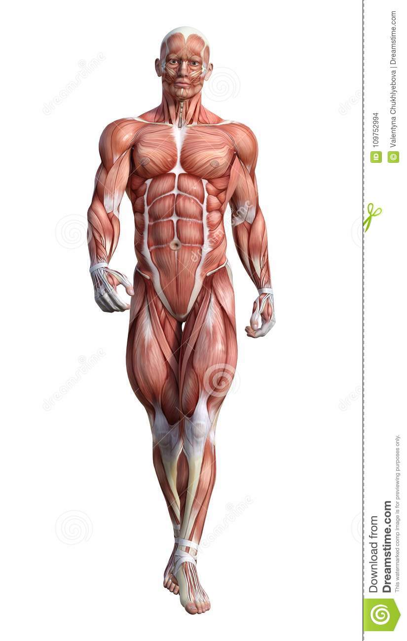 3D Rendering Male Anatomy Figure On White Stock Illustration ...