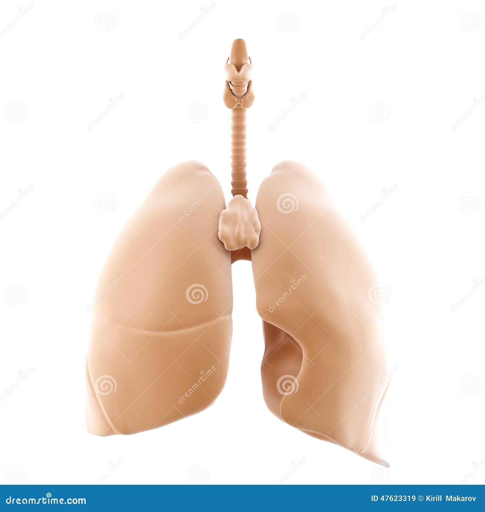 3d rendido dos pulmões humanos Isolado Contem o trajeto de grampeamento