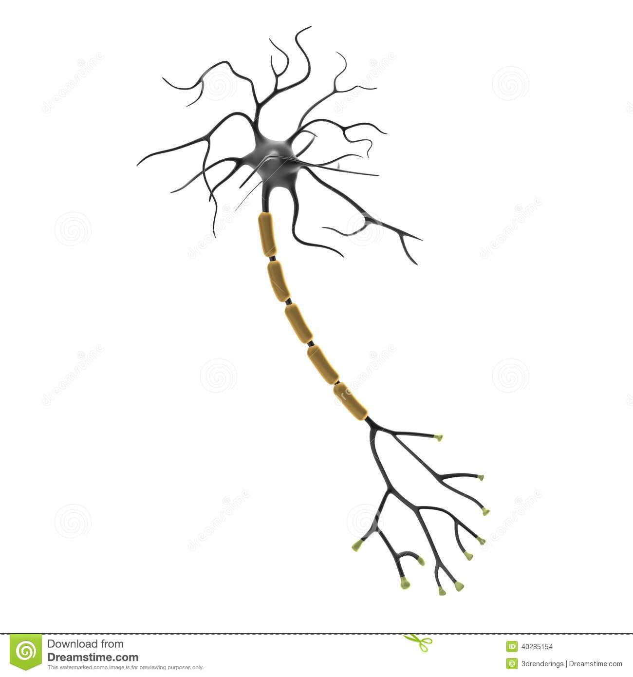 File Anatomy and physiology of animals Relation btw sensory  relay  26 motor neurons in addition Neuron Clipart moreover File Anatomy and physiology unlabeled neuron as well Worksheet 1 further Neurociencia Para Ninos. on unlabeled nerve cell